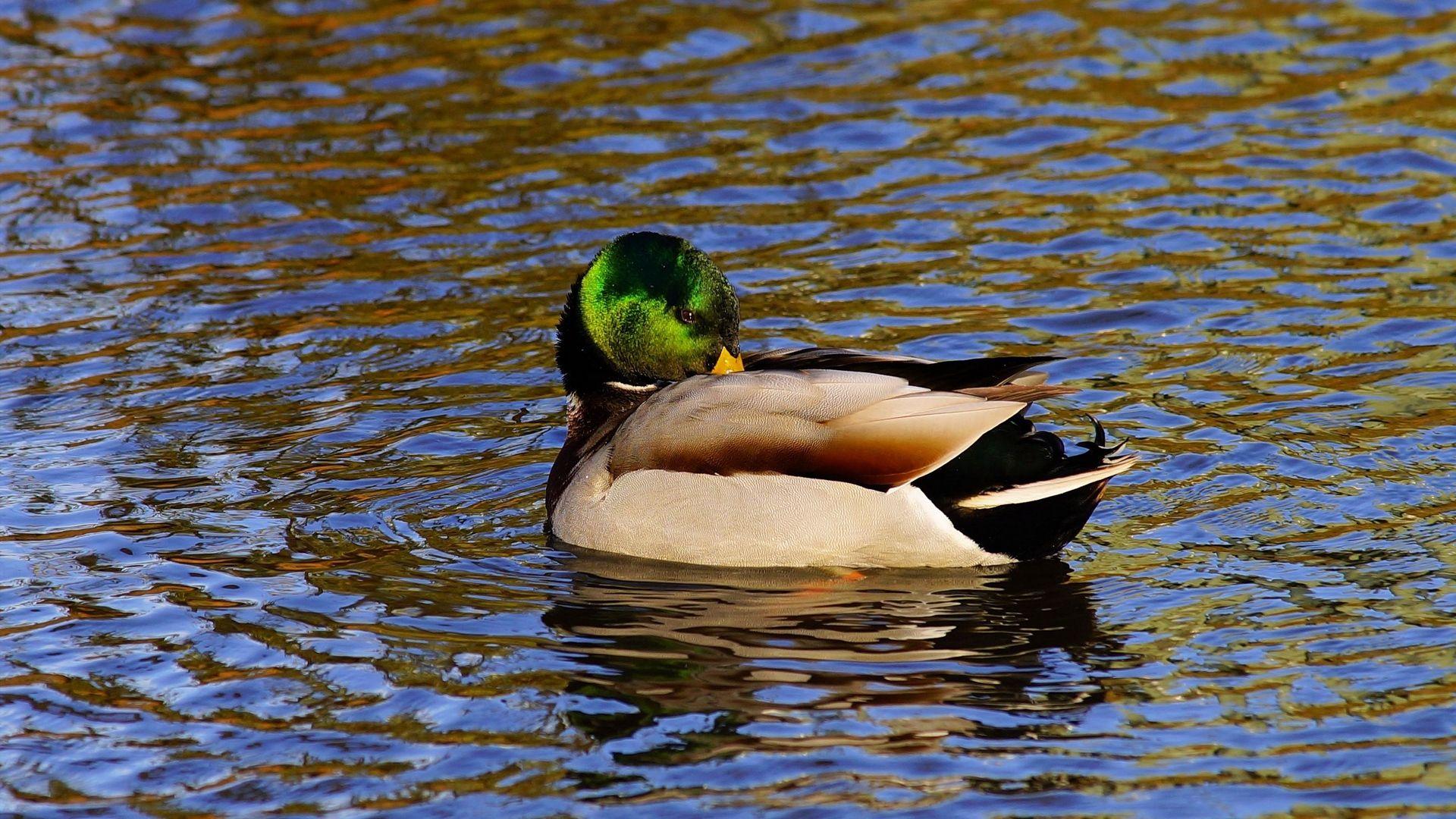 Duck Birds Hd