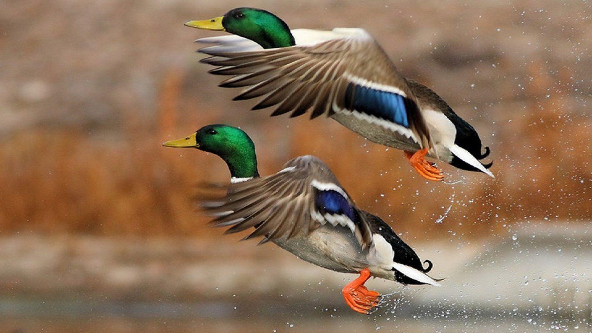 Duck In Flight Photo