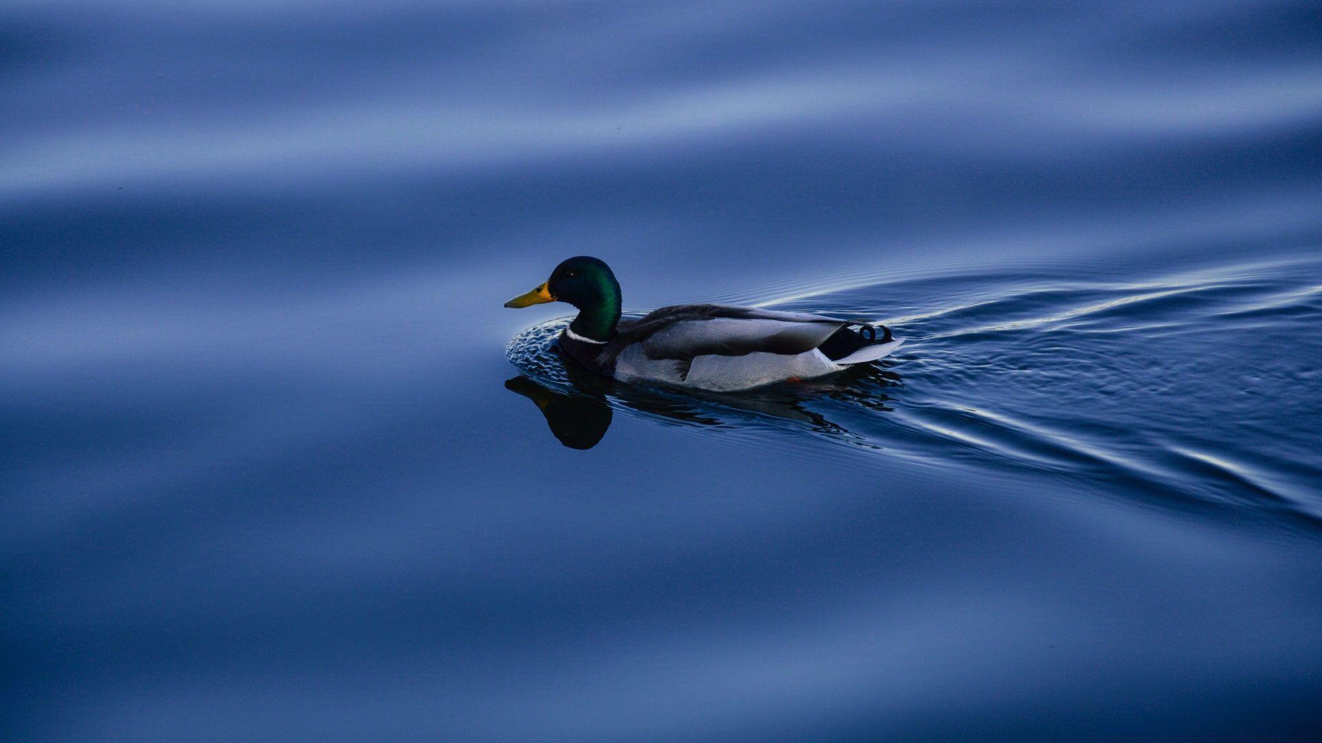 Duck Photo Hd