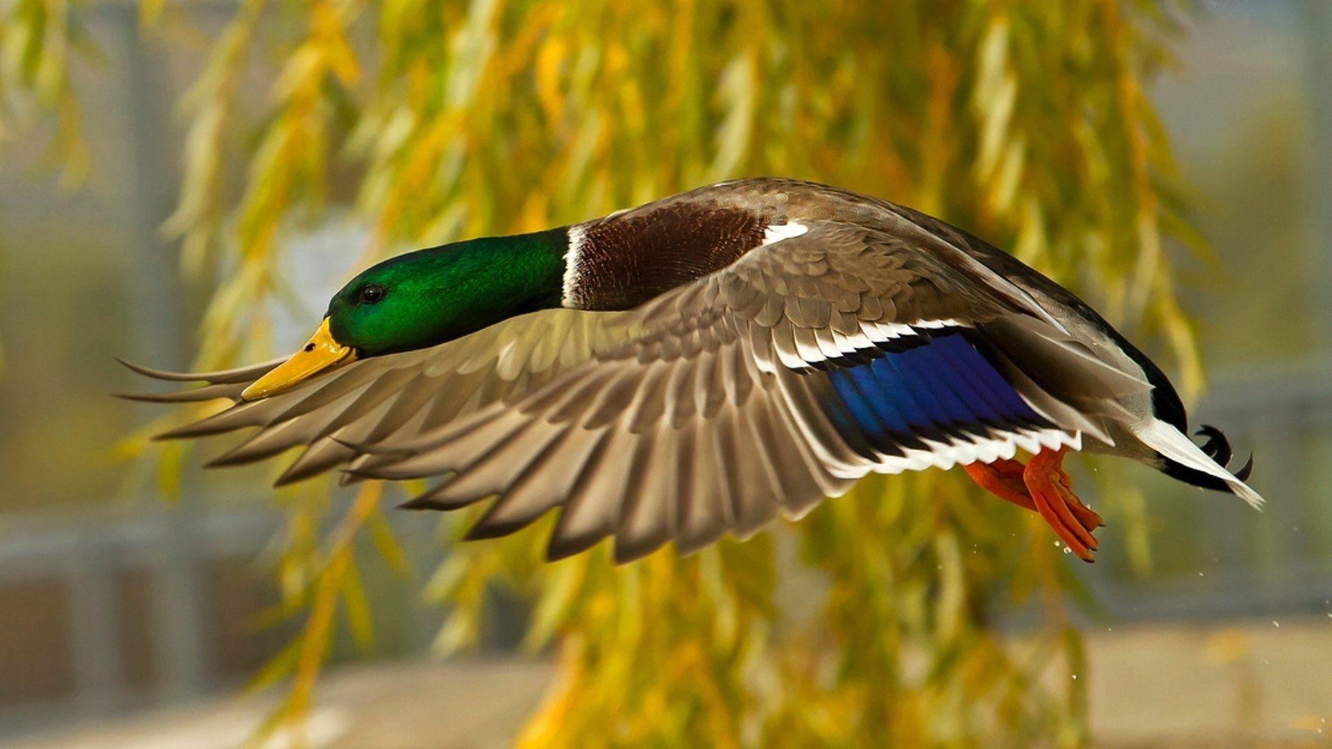 Duck Photo Of Birds