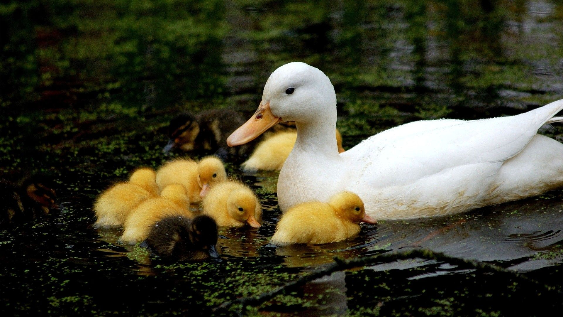 Duck With Ducklings Photos