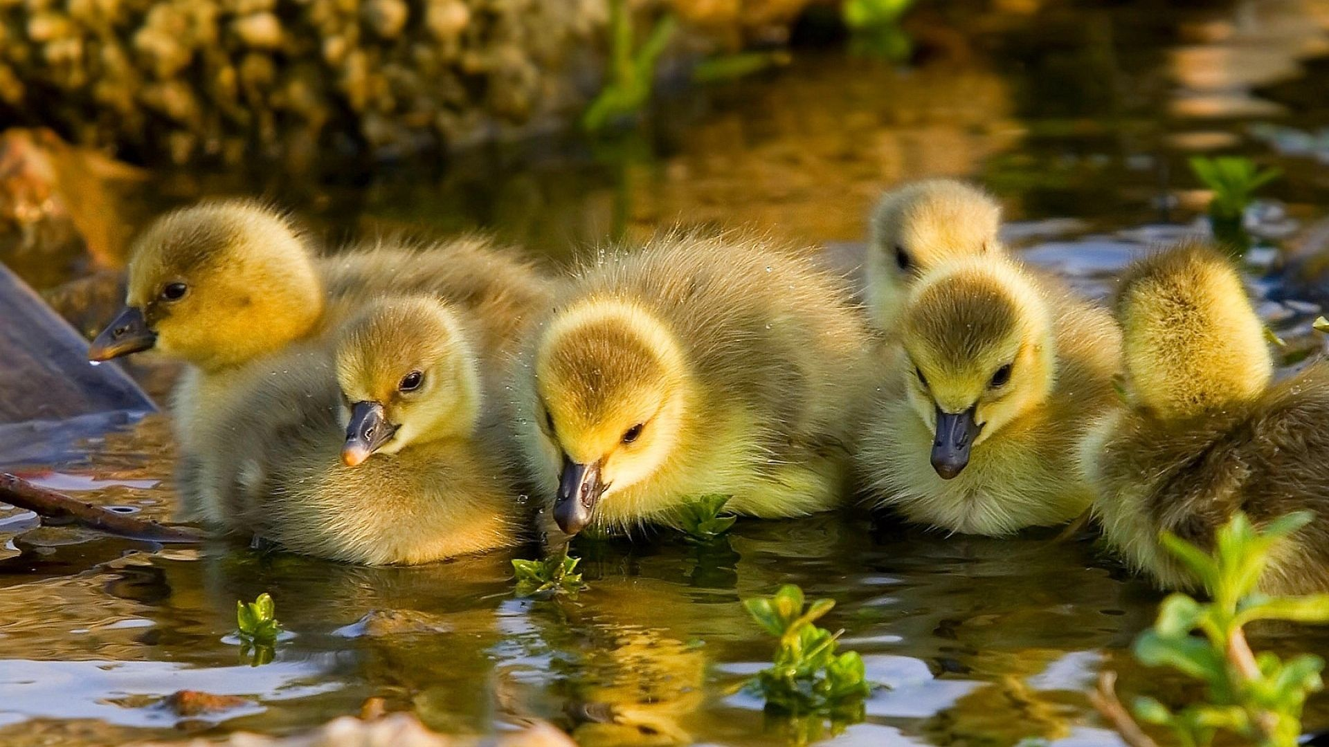 Ducklings And Goslings Photo