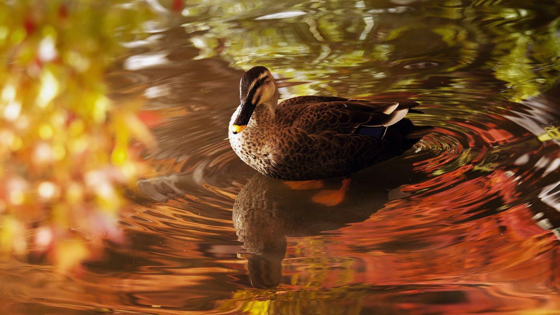 Ducks Wallpaper Wild