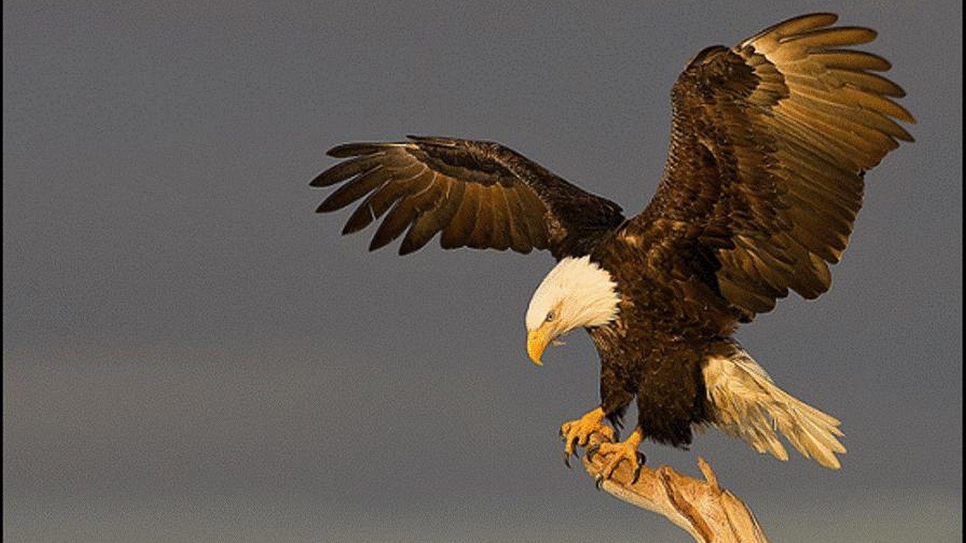 Eagle On The Desk
