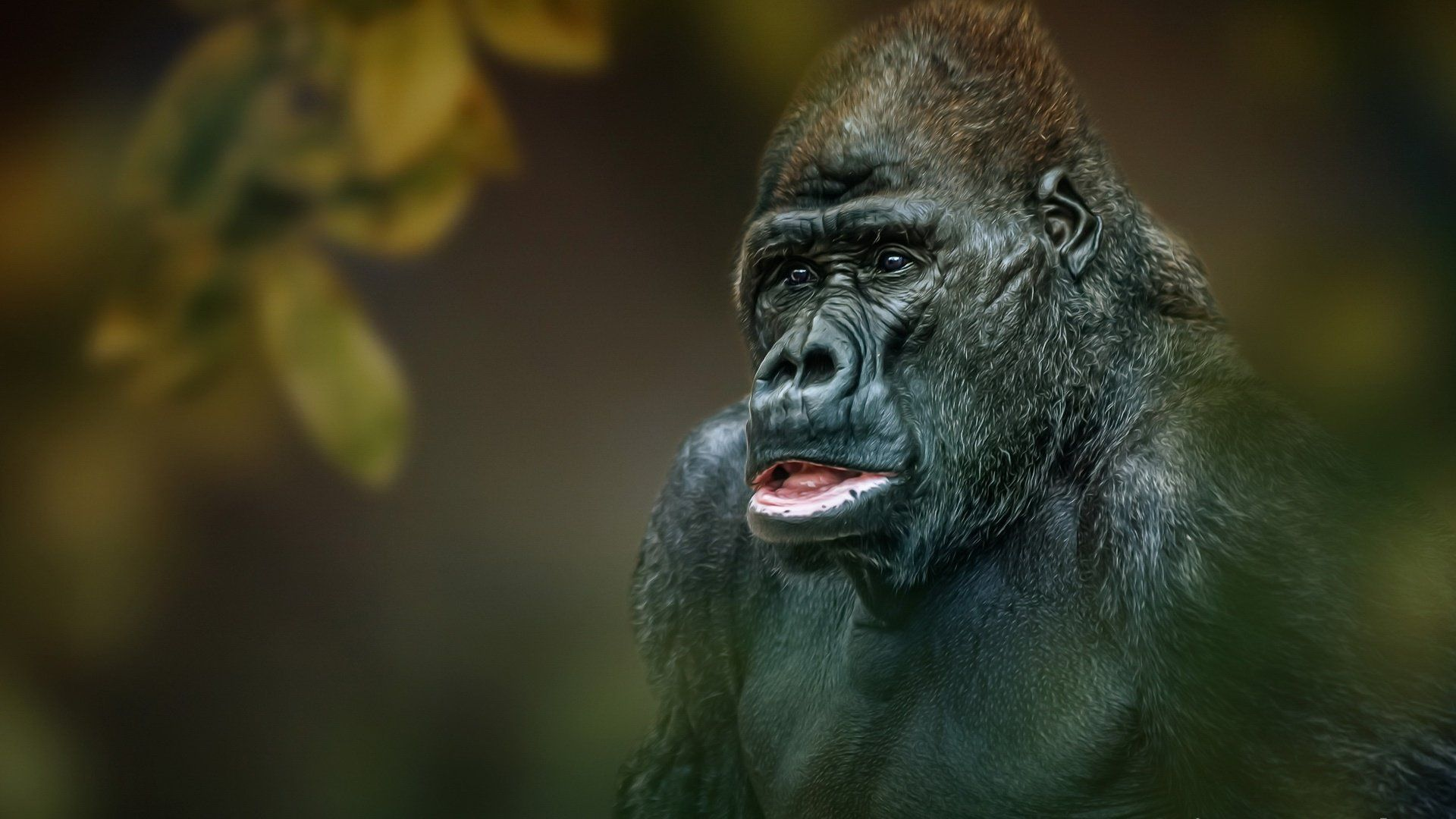 Face Gorilla Wallpaper