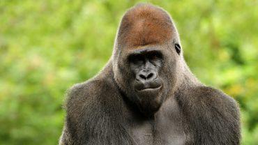 Face Gorilla Photo