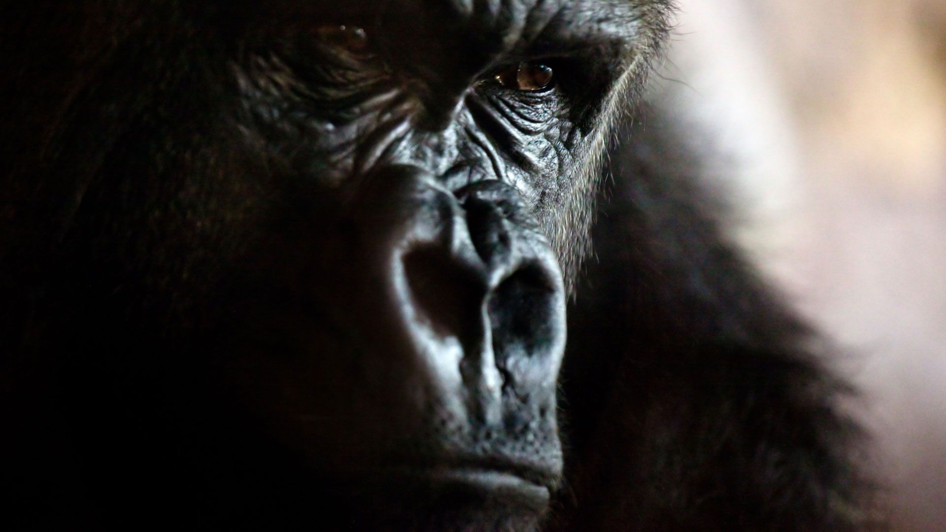 Face Gorilla Photo