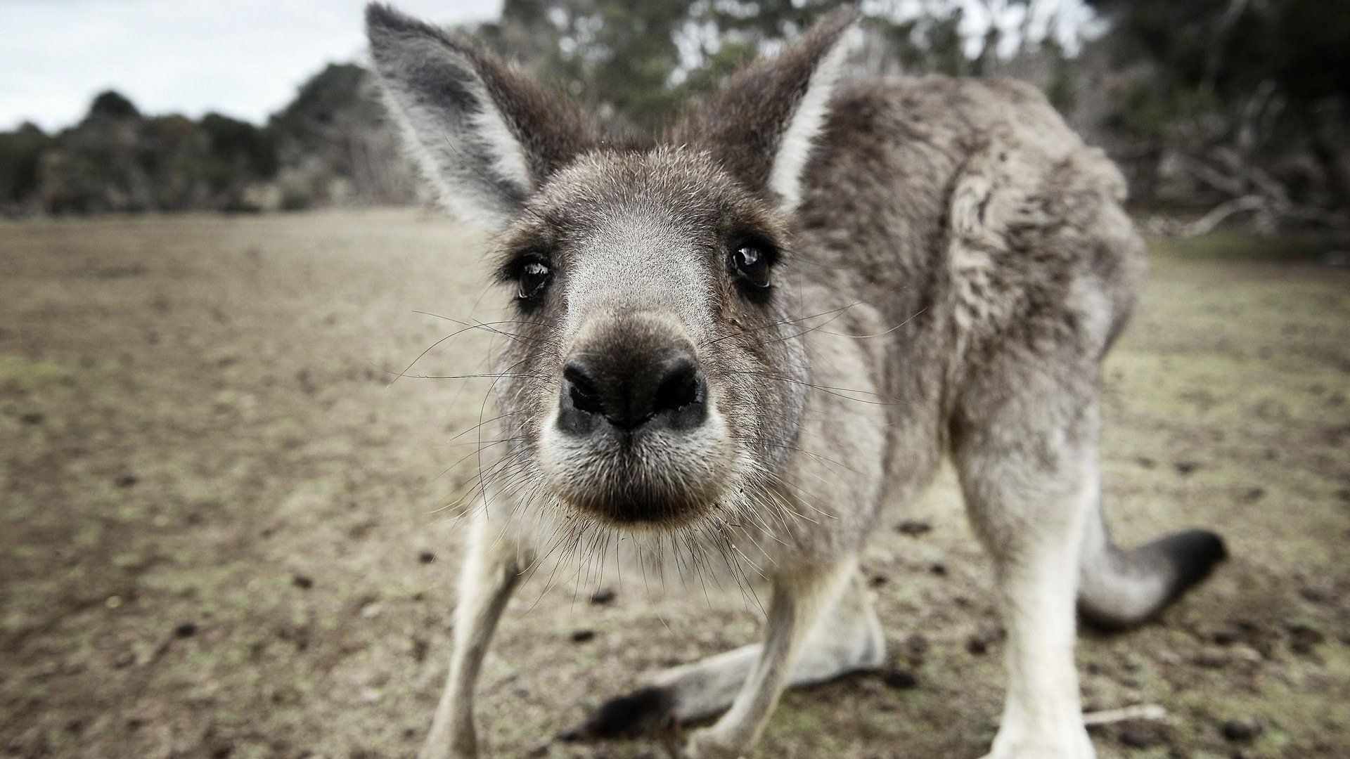Face Of Kangaroo Pictures