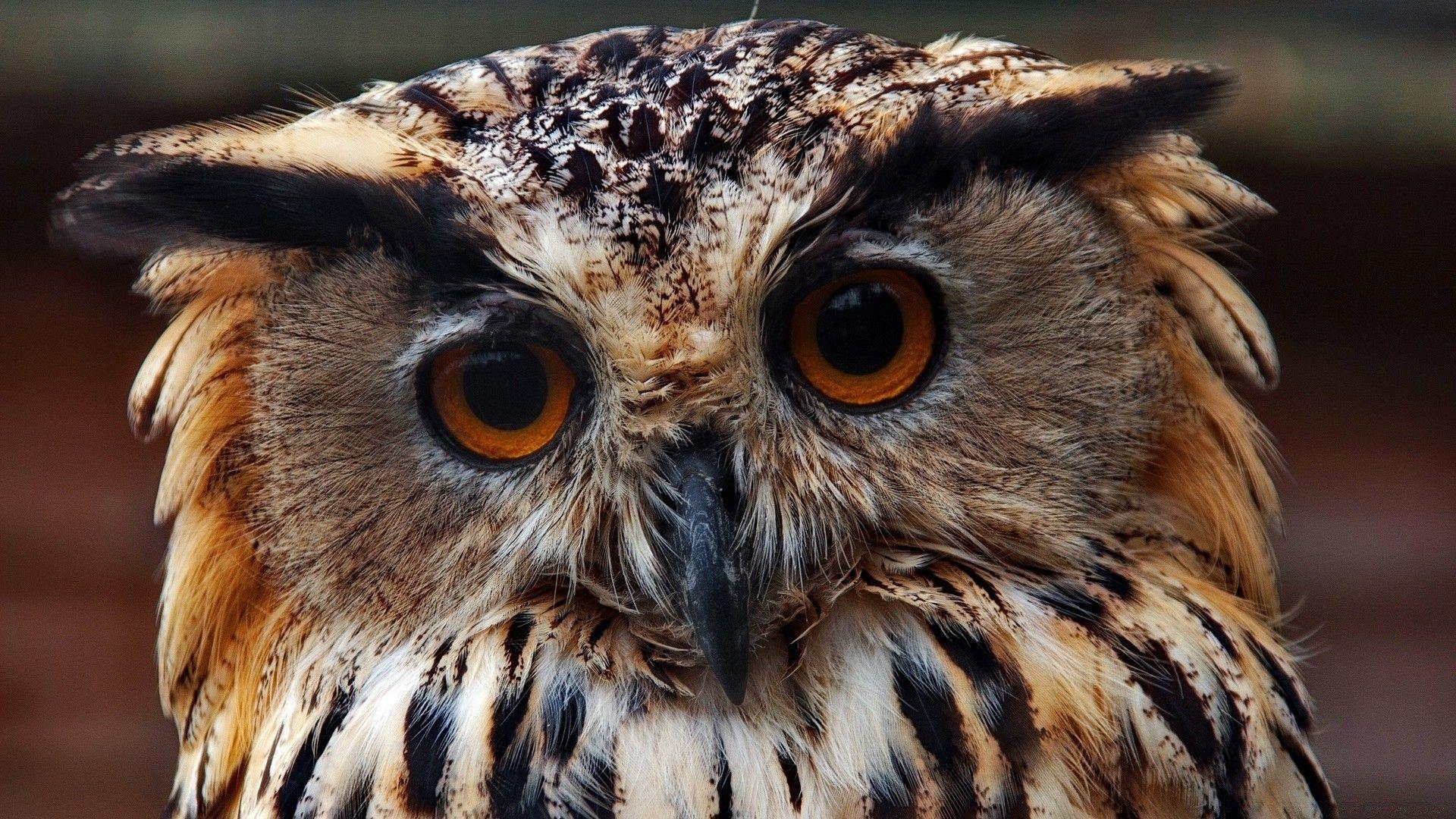Face Owls