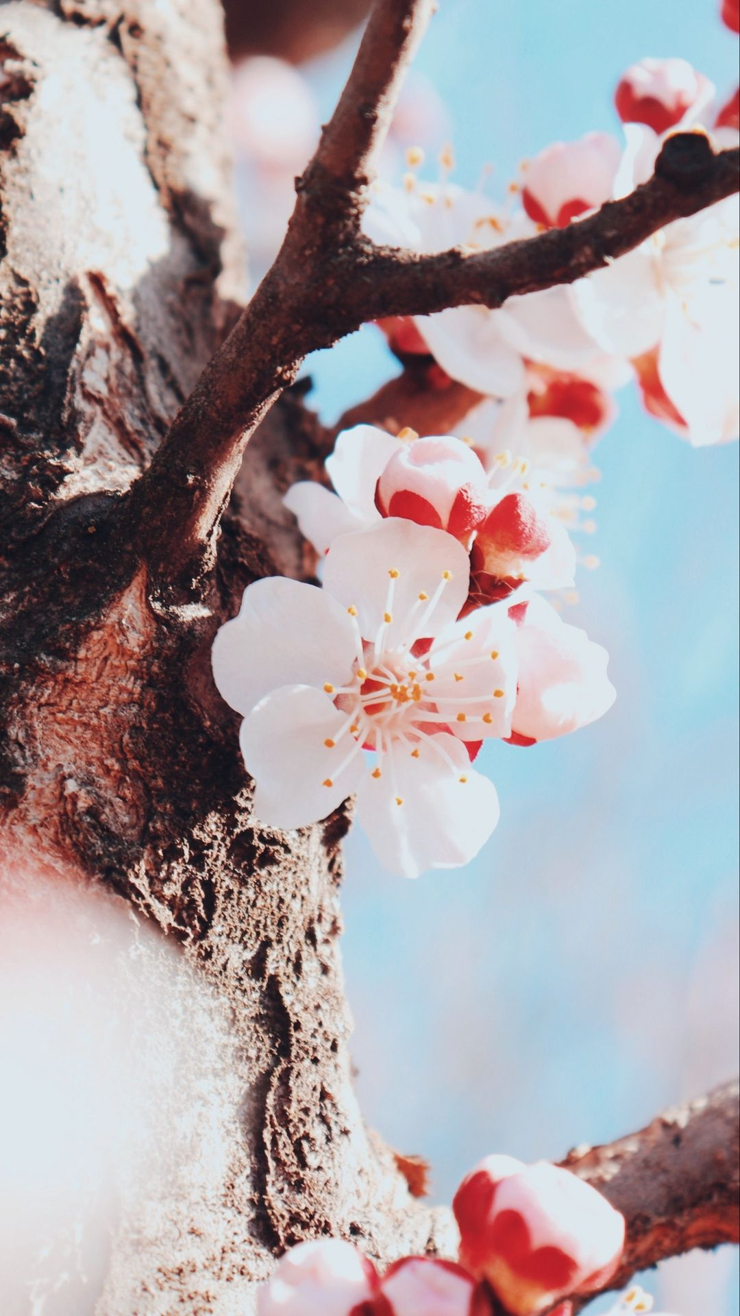 Flowering Apricot Photos