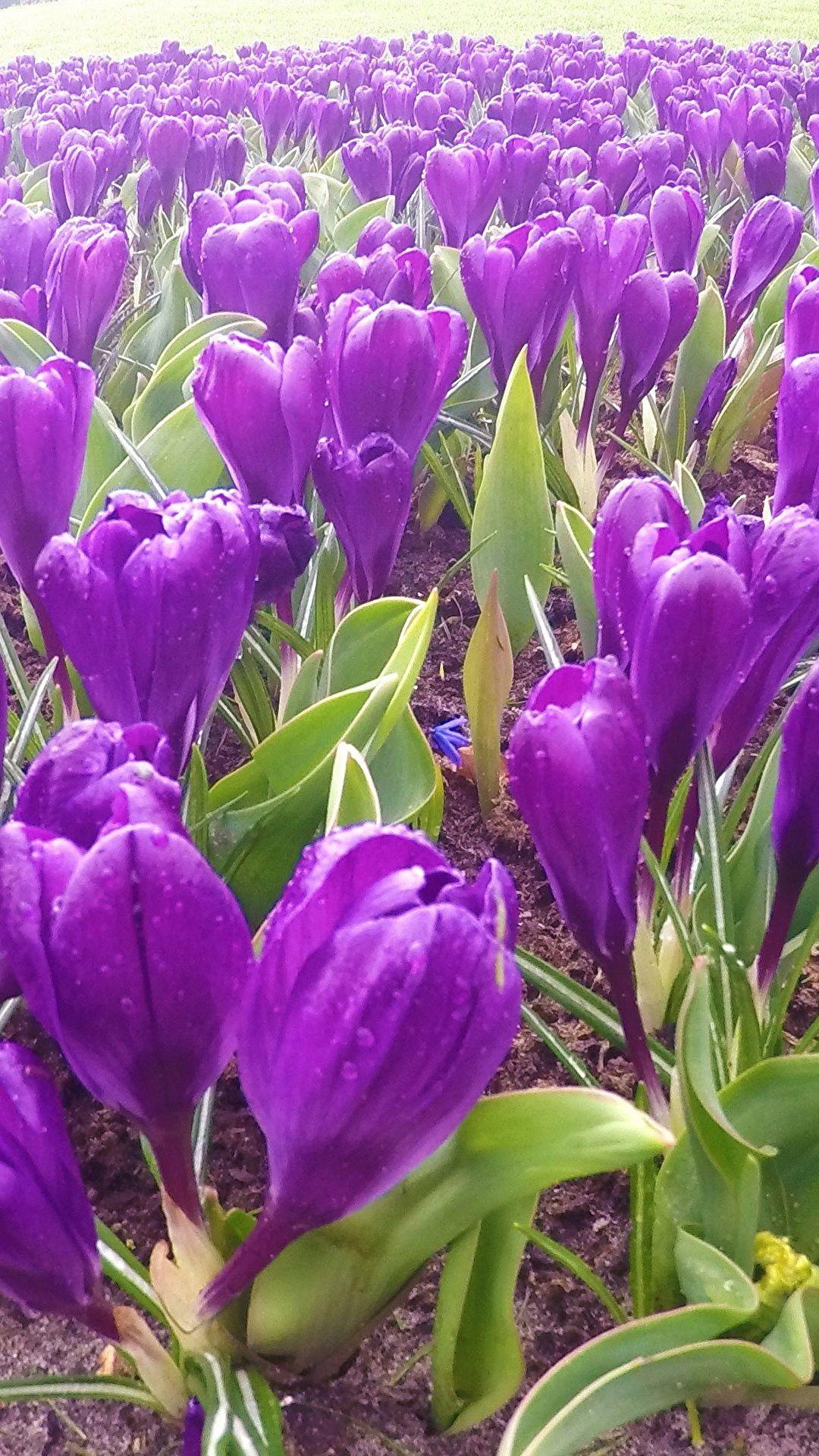 Flowers Purple Crocuses