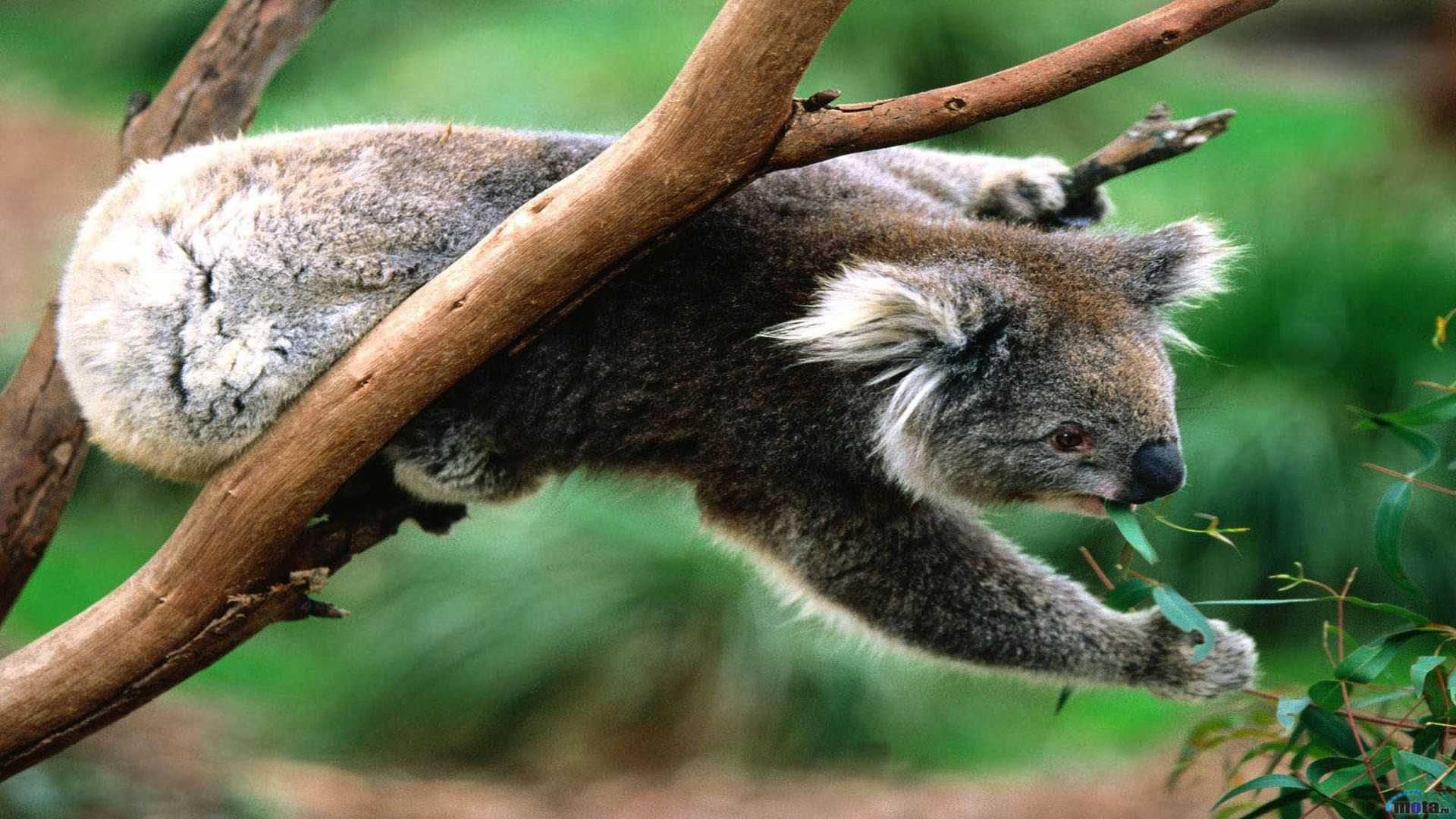 Funny Koala Wallpaper