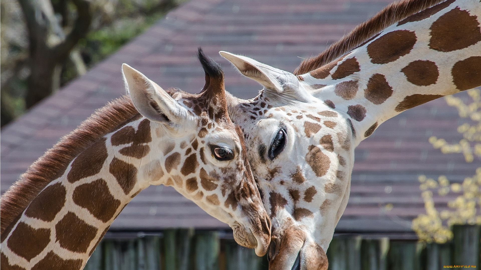 Funny Photo Of A Giraffe