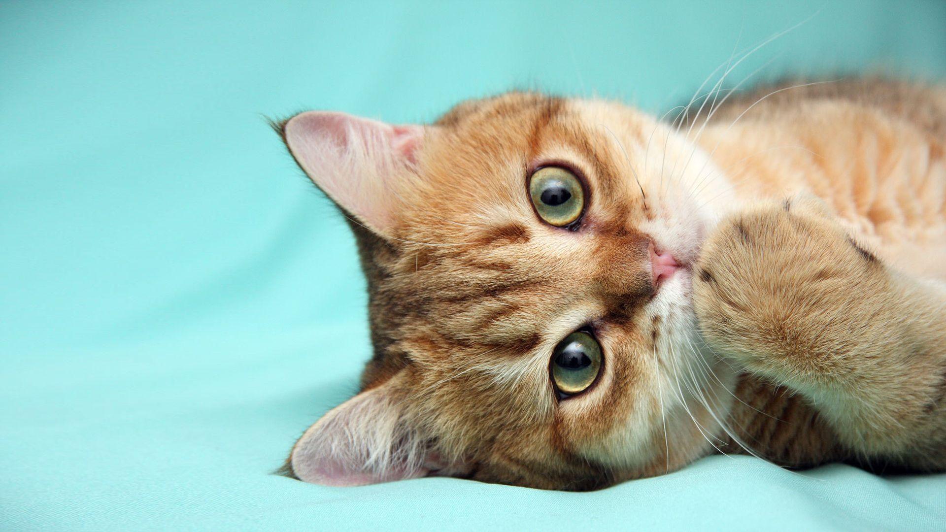 Ginger Cat Photo 1024