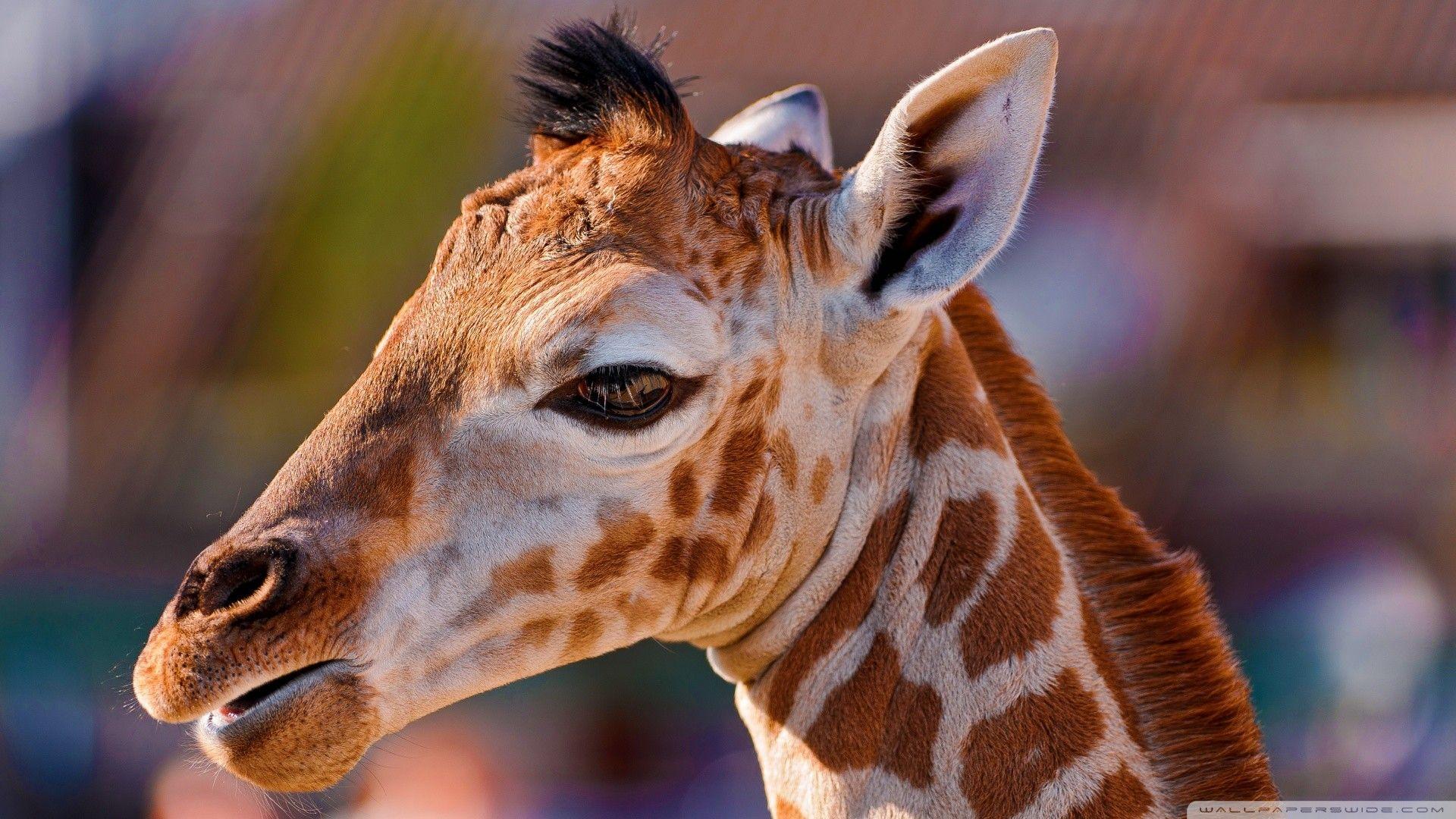 Giraffe Beautiful