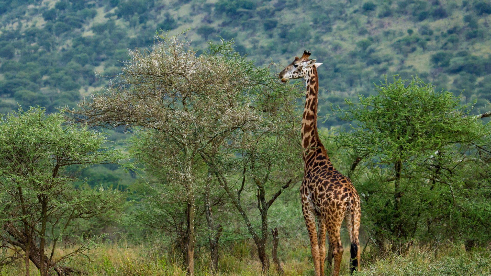 Giraffe In The Savanna