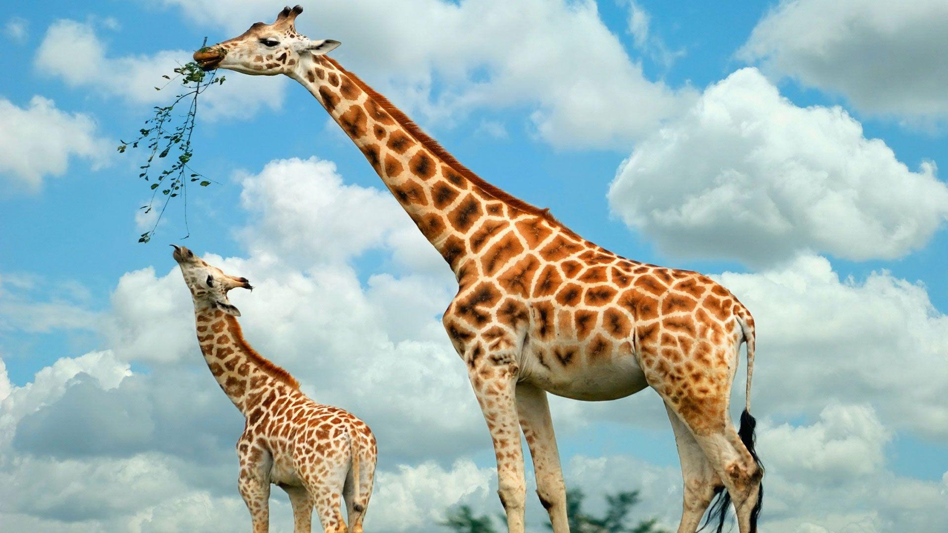Giraffe With Cub