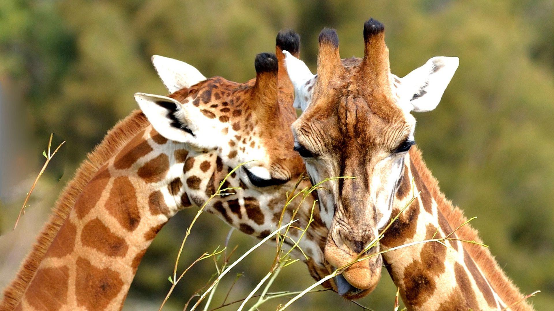 Giraffes Hugging