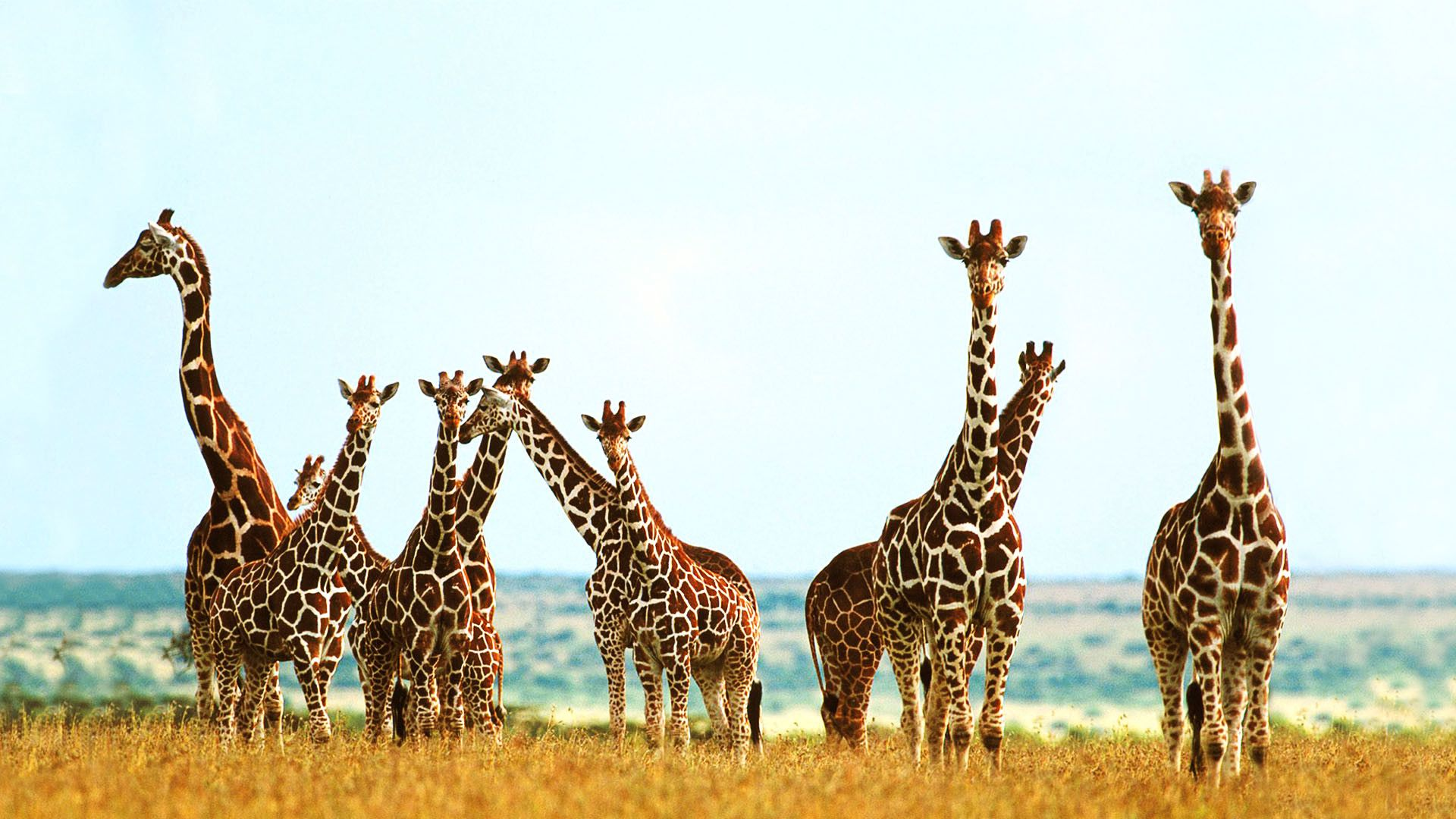 Giraffes Photos