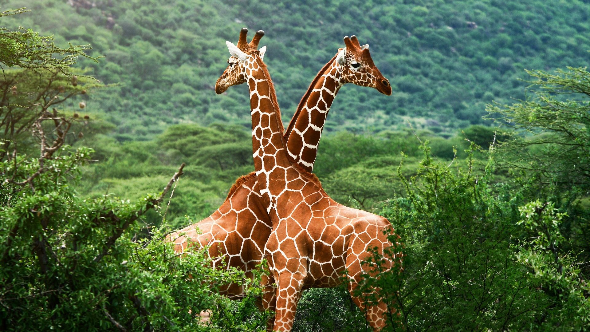 Giraffes Pictures