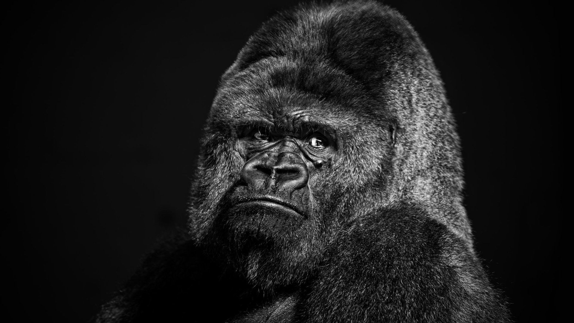 Gorilla Black And White Photo