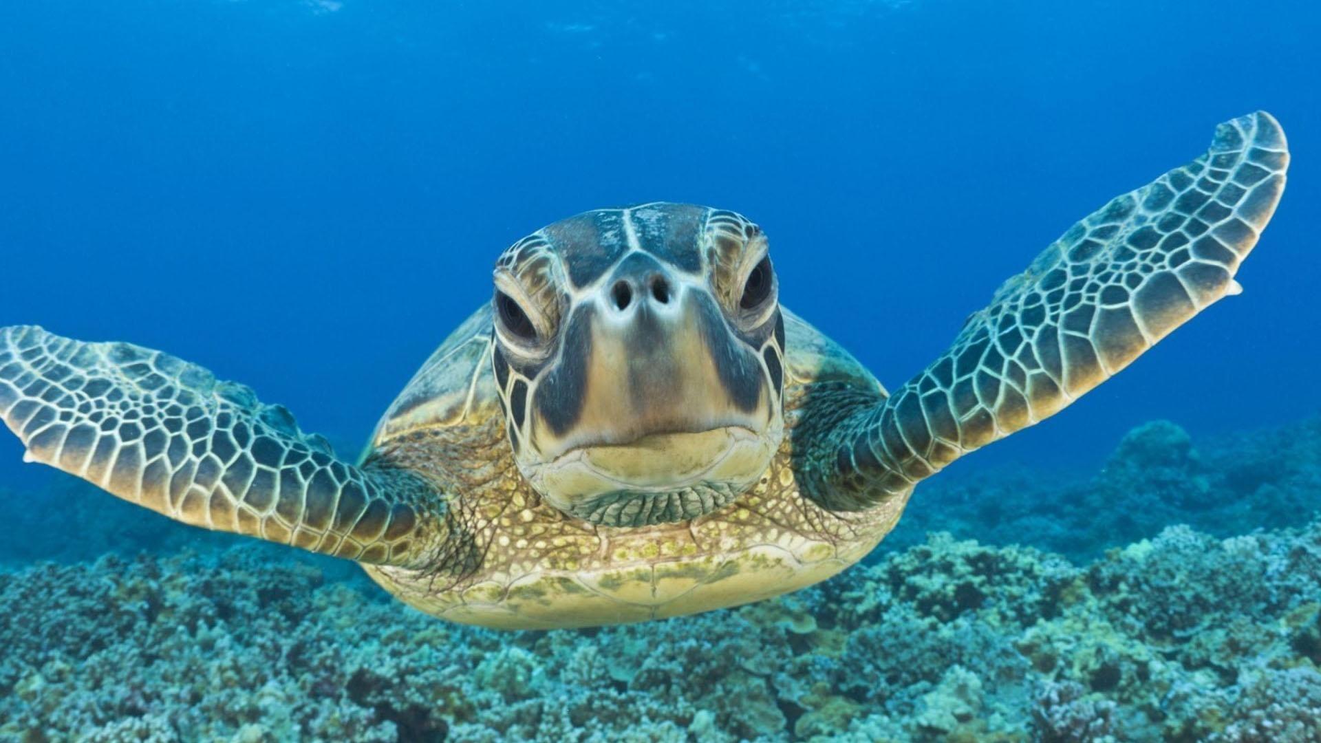 Great Barrier Reef Turtles