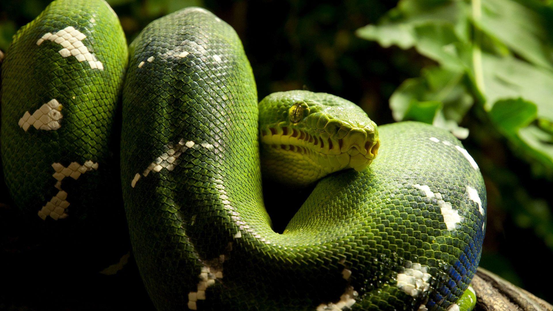 Green Python Photo