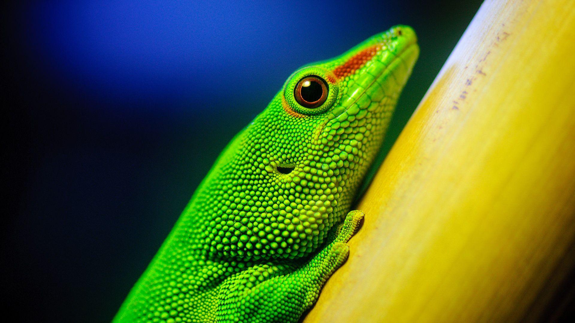 Green Lizard Macro Photography
