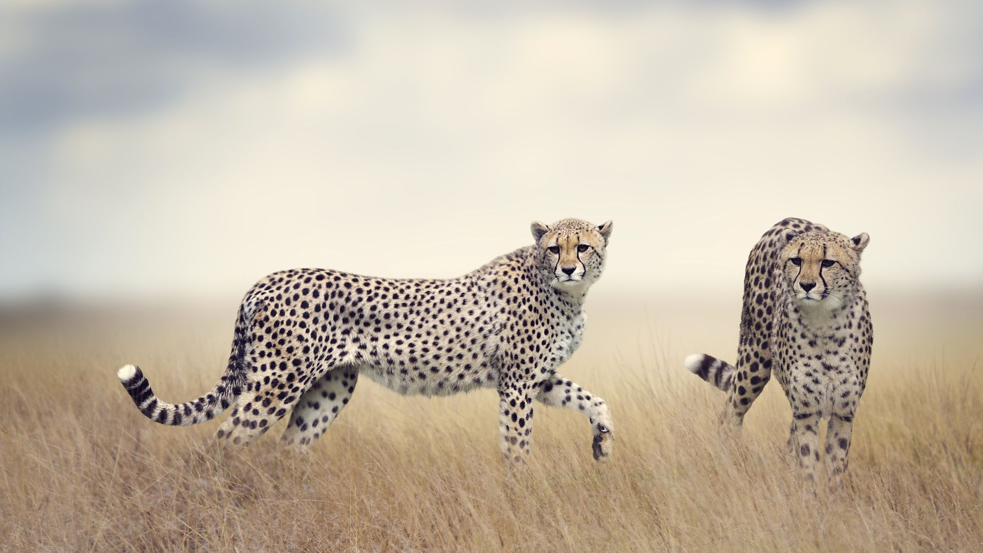 Grey Cheetah