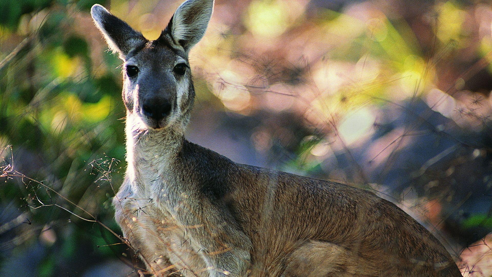 Grey Kangaroo Photo