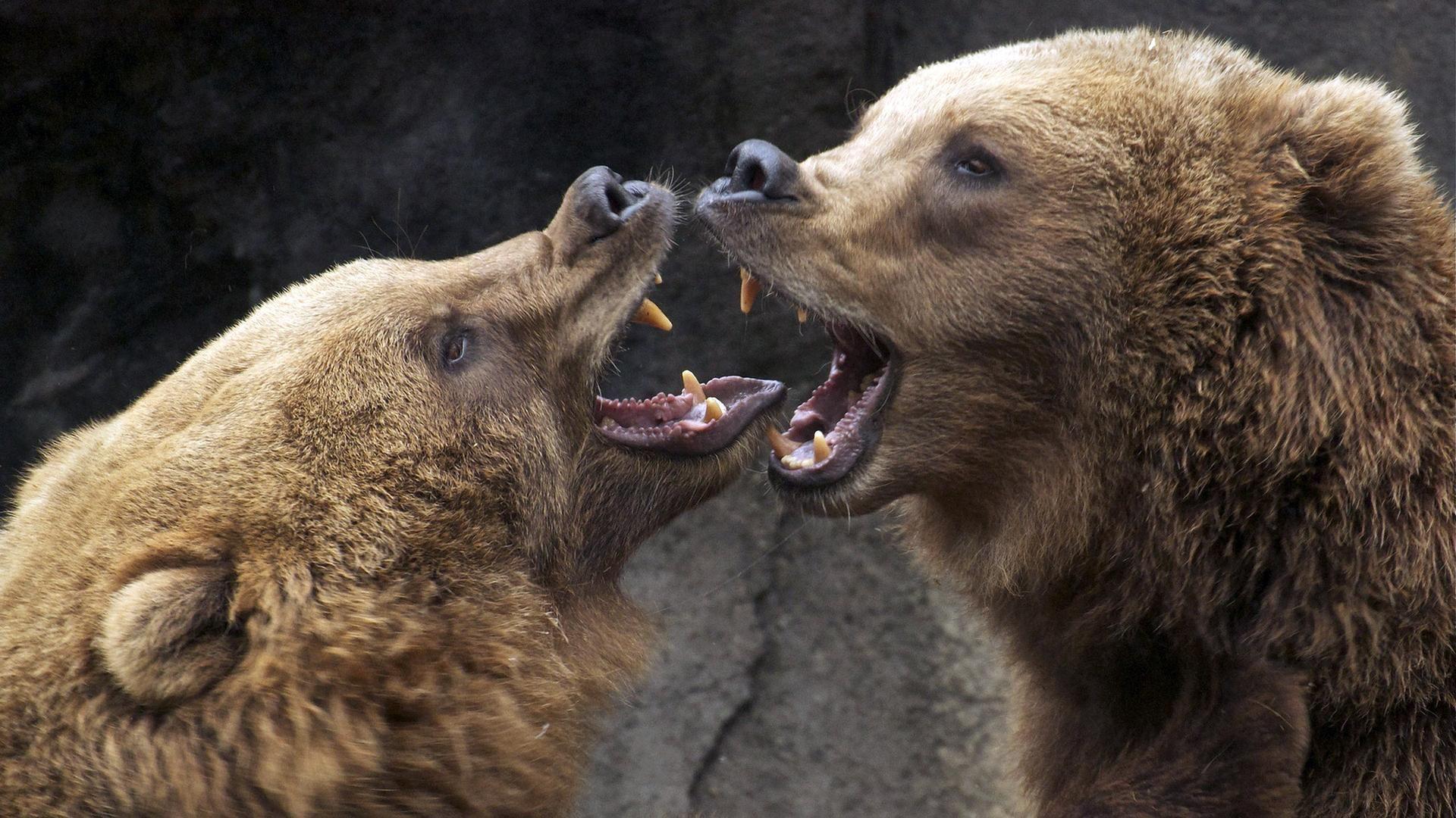 Grin Bear Photo