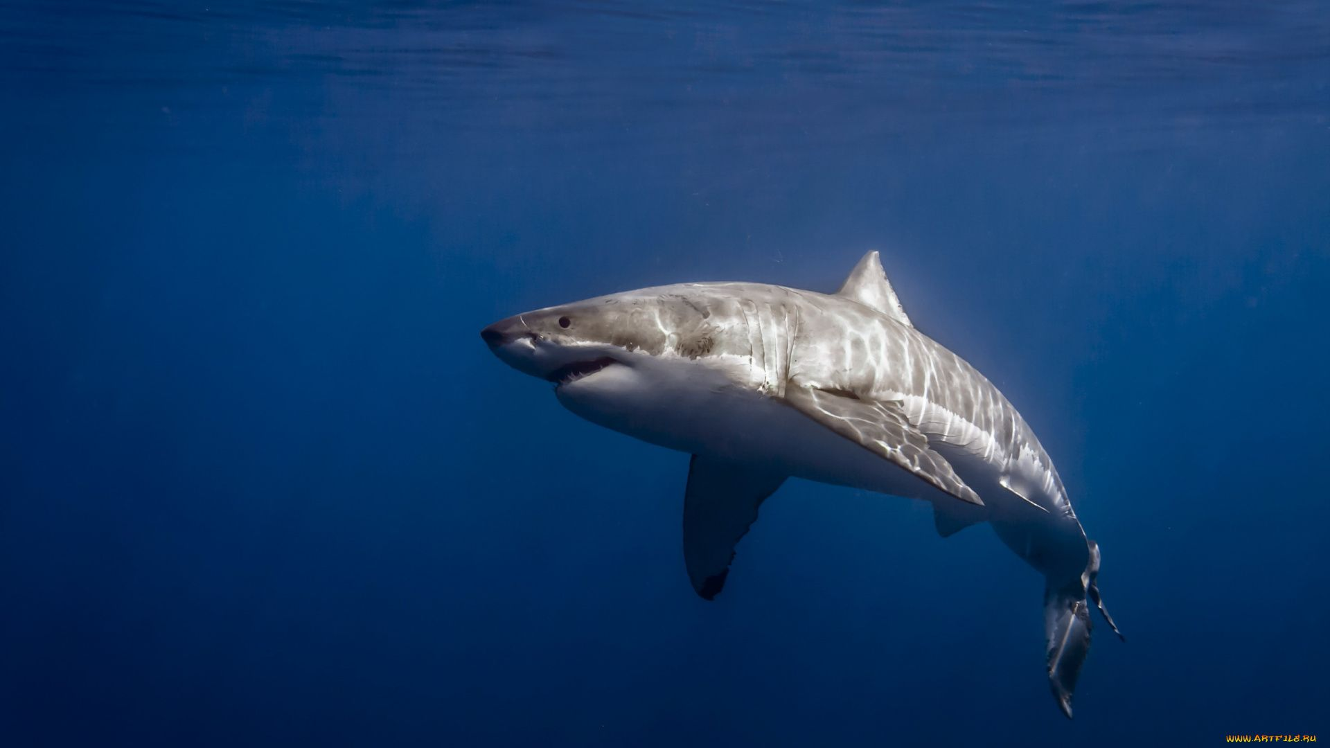 Hd Photo White Shark