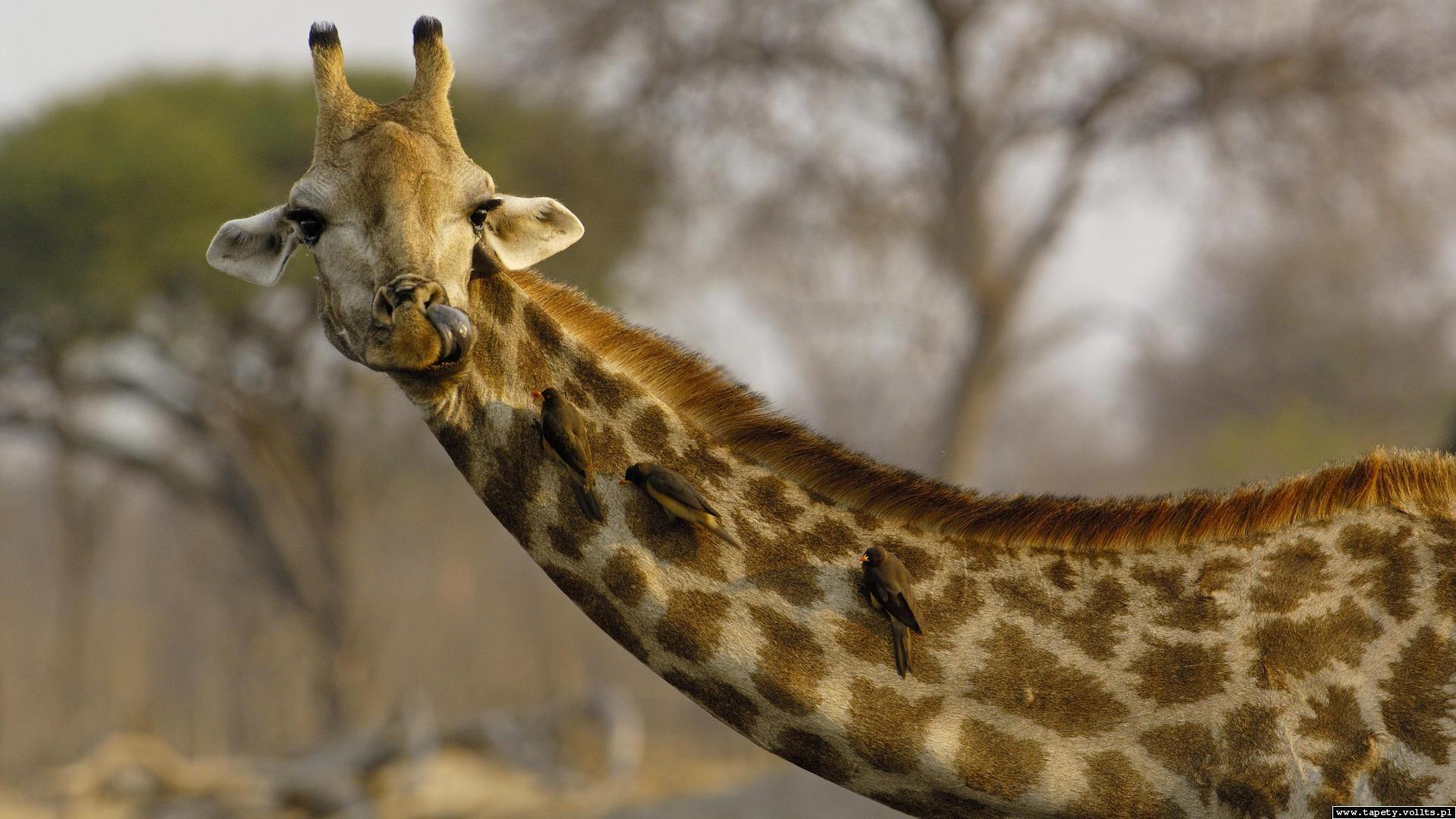 Head Giraffe Photo