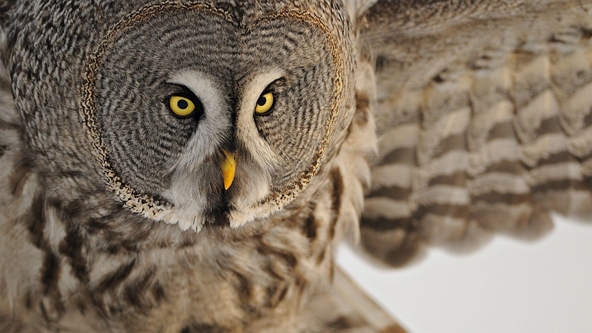 Head Owl