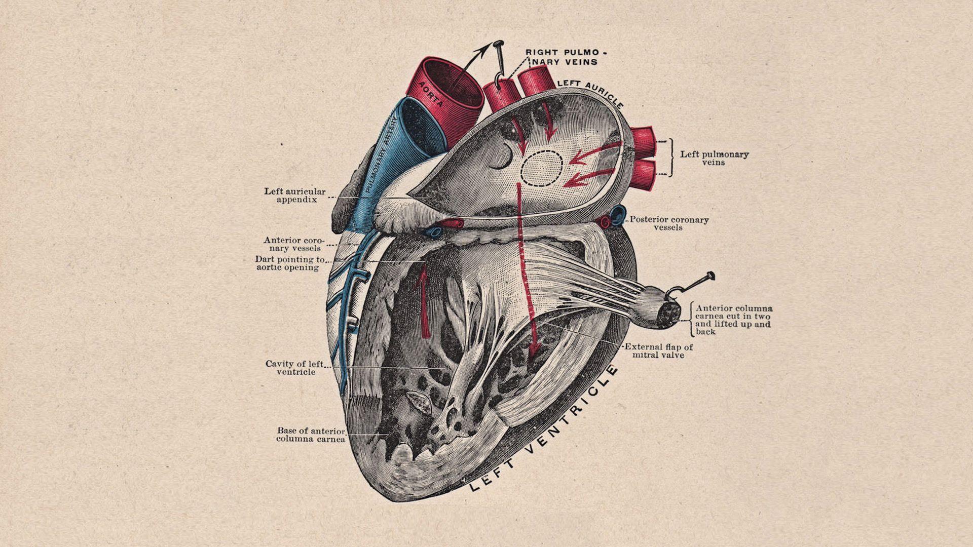 Heart Anatomy Wallpaper