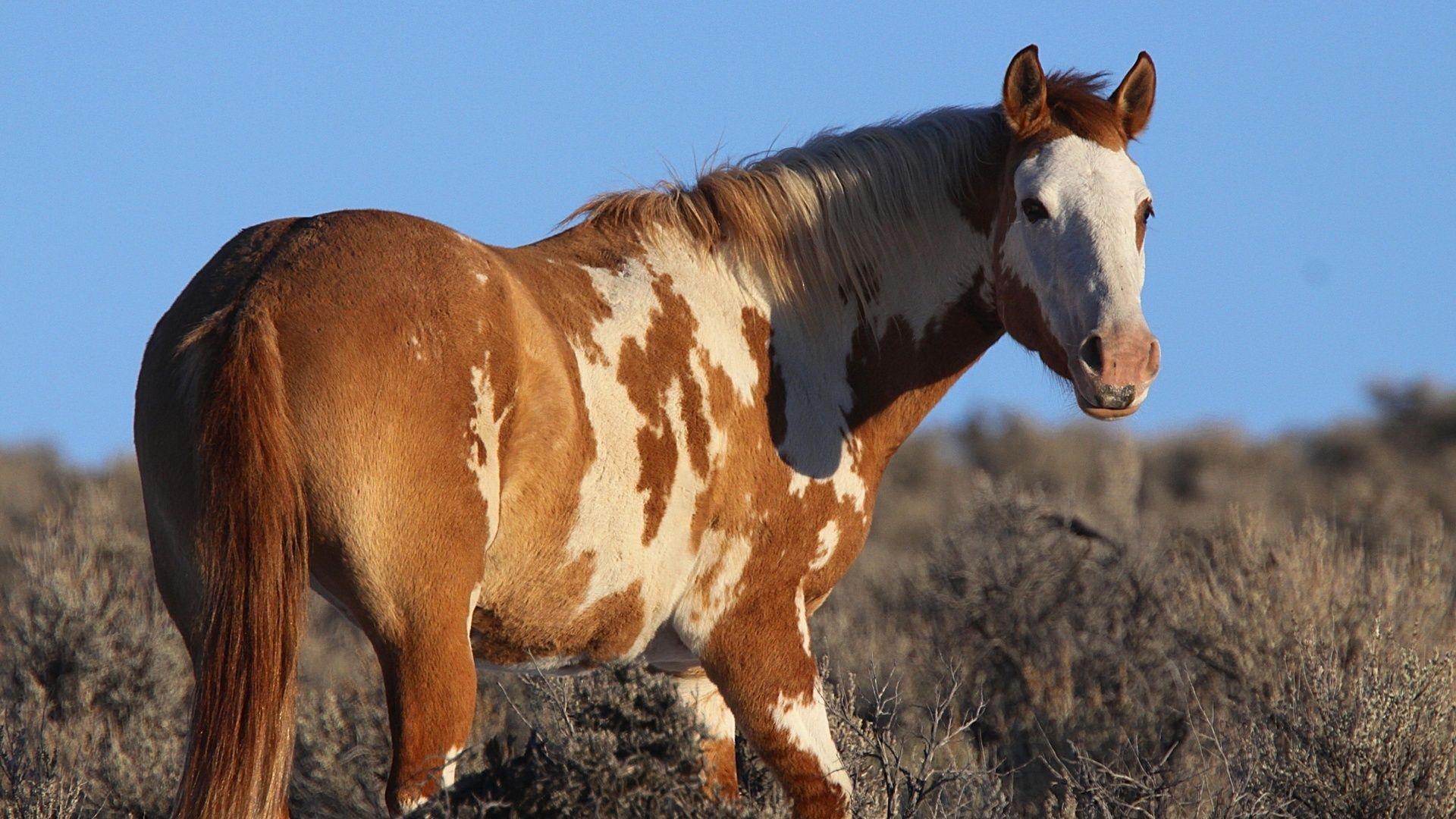Horse Pinto Mustang