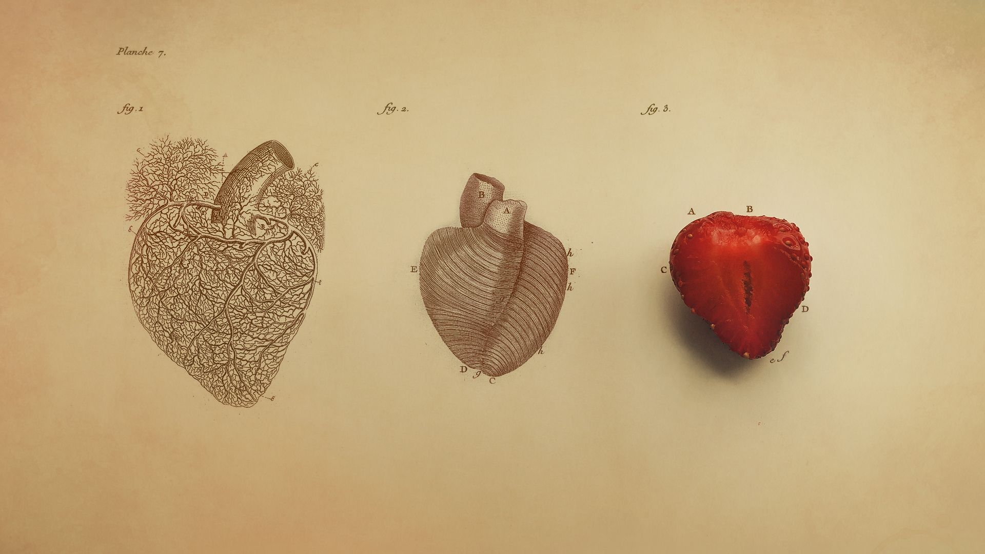 Human Heart Wallpaper