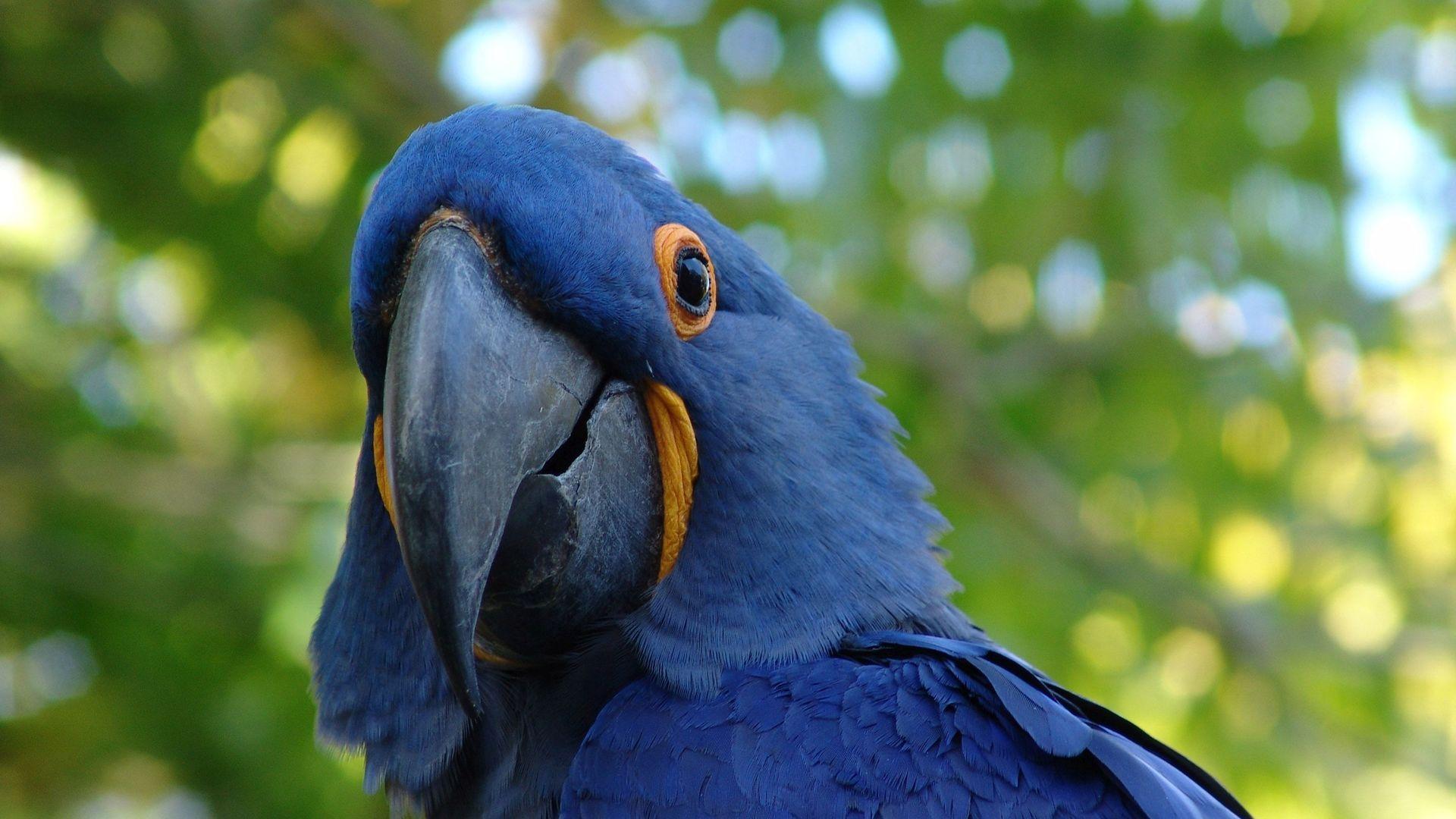 Hyacinth Macaw Rio