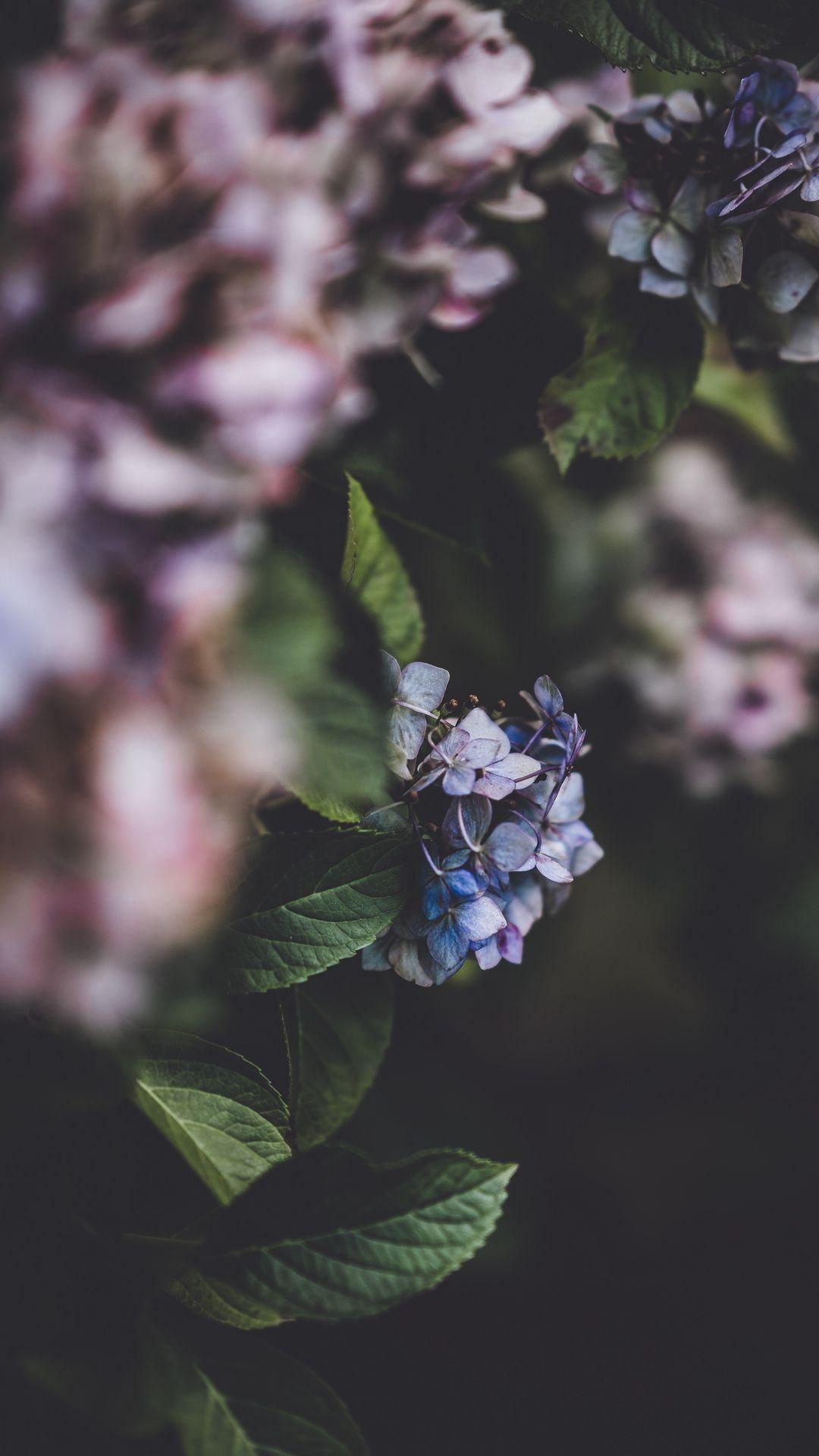 Hydrangea Blurred Fln