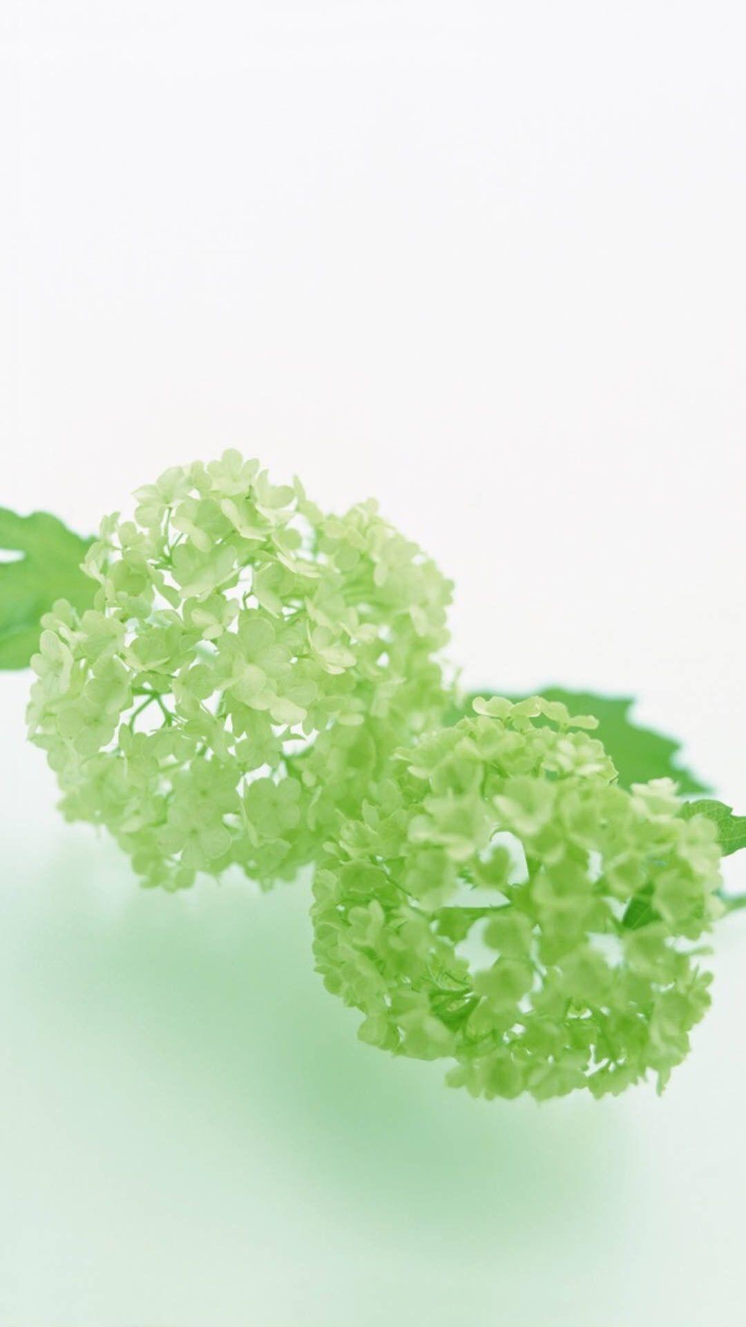 Hydrangea Flowers Are Greenish