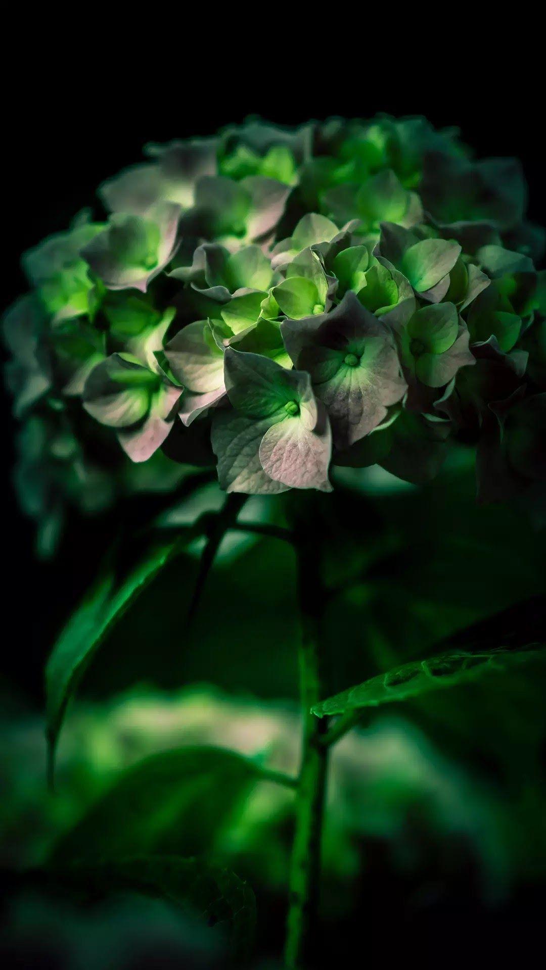 Hydrangea Green Flowers