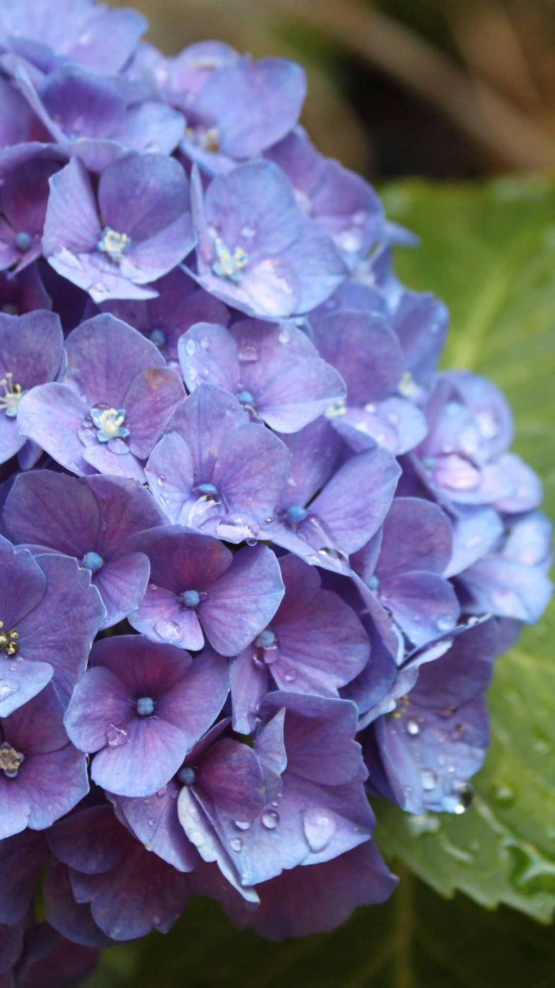 Hydrangea Lilac Photo