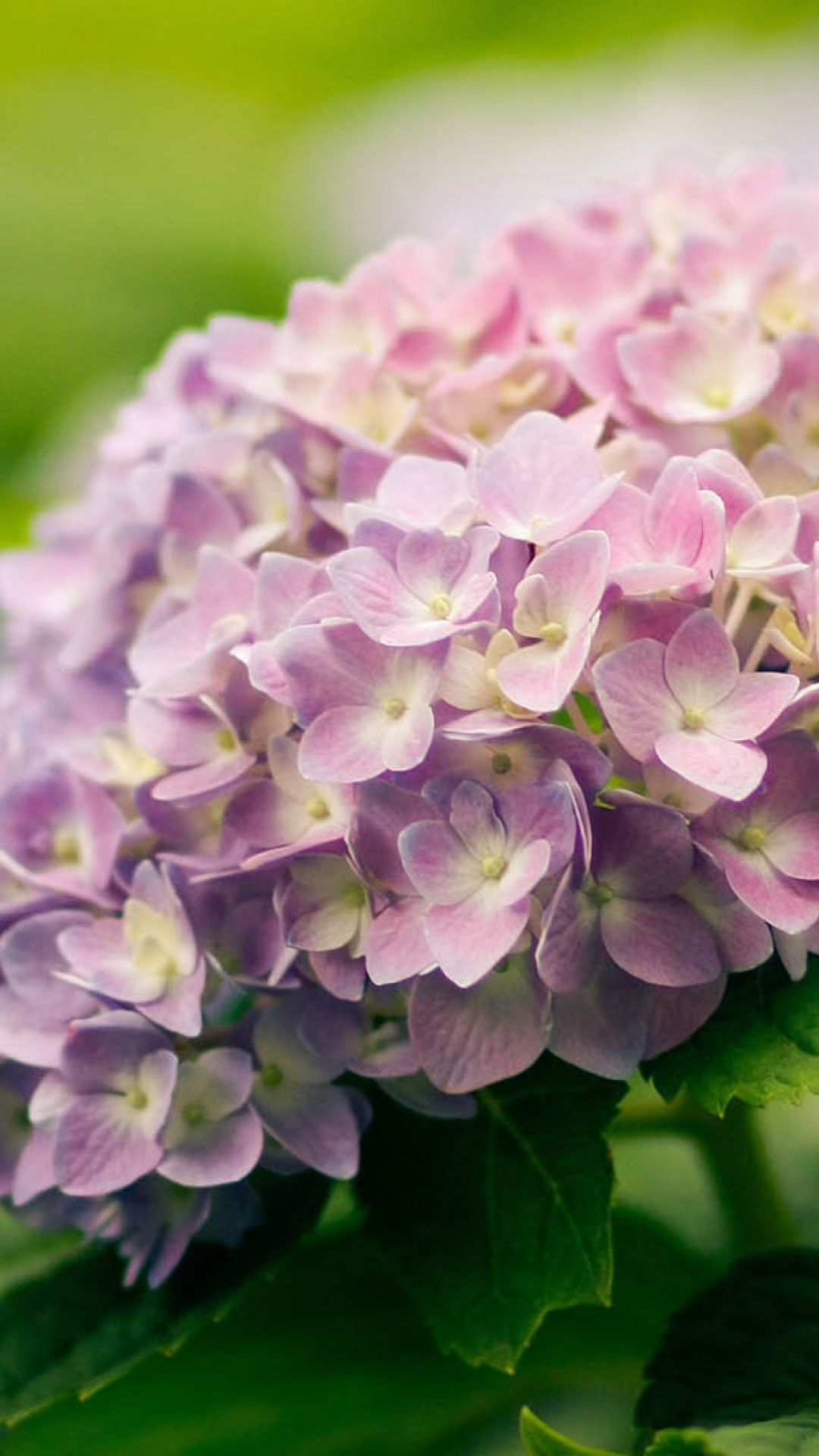 Hydrangea Pictures Of Beautiful