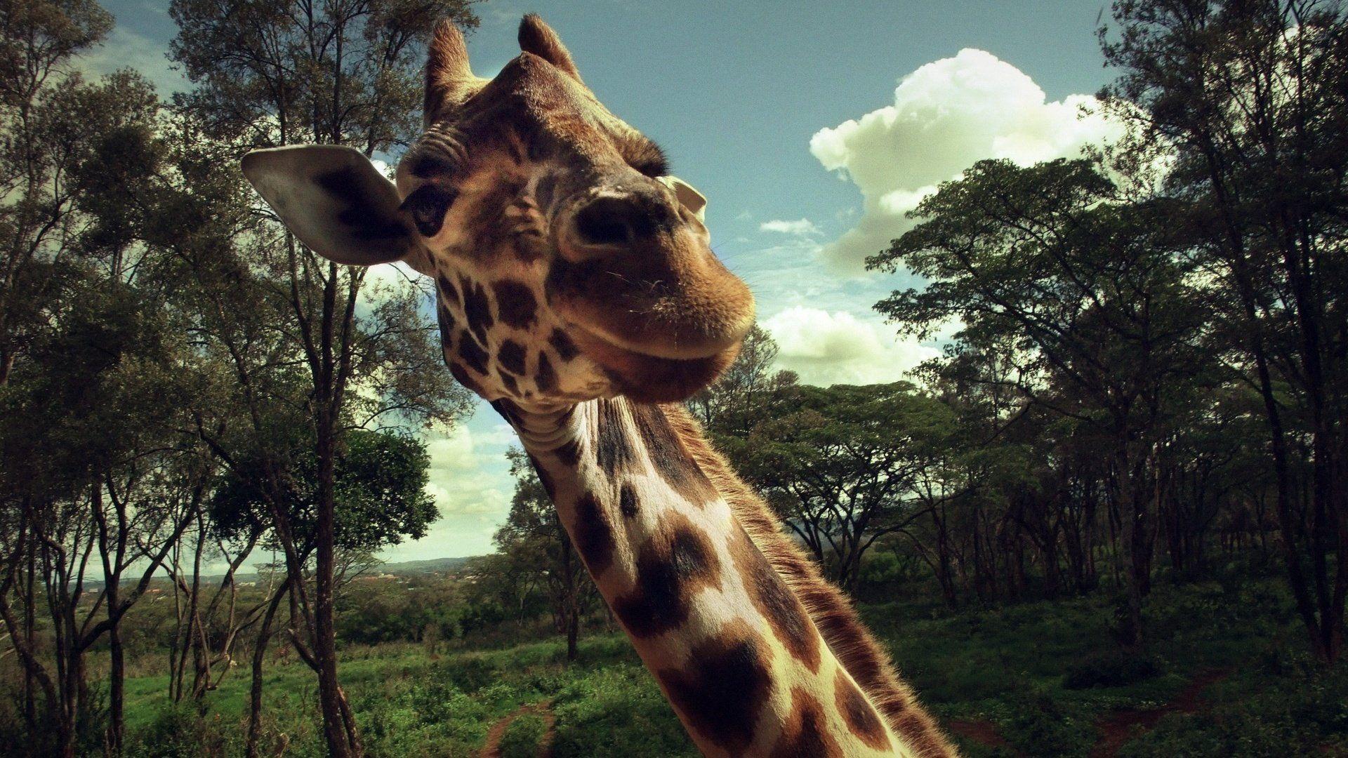 Images For Desktop Giraffe