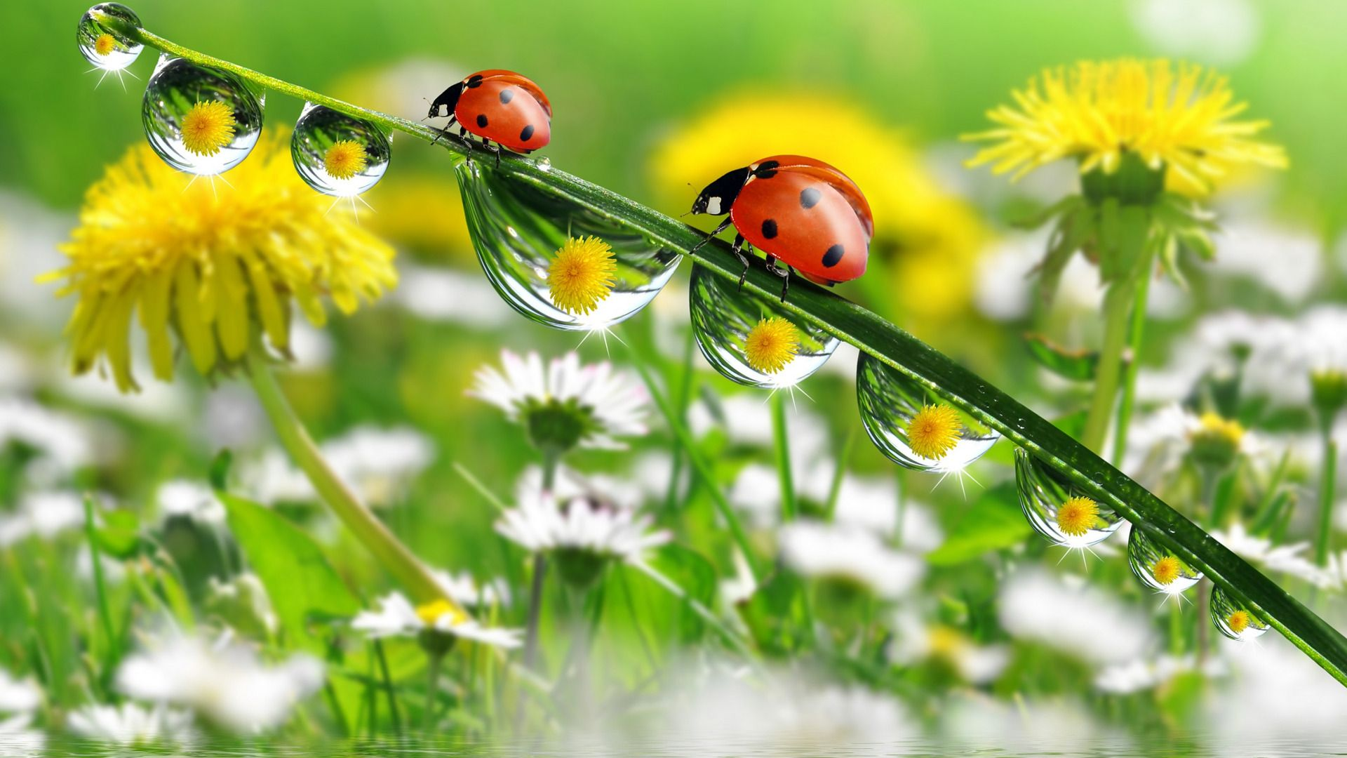 Images Of Dandelions And Ladybirds