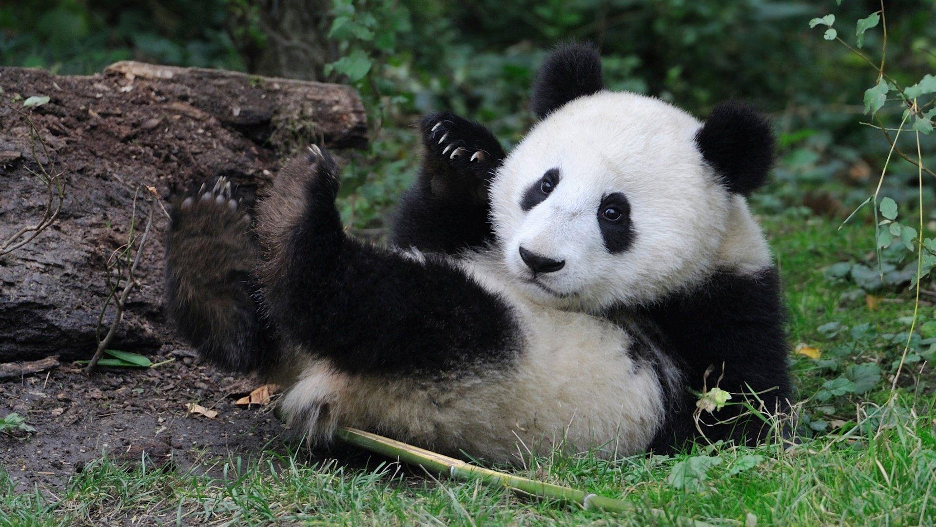 Kakrtinki Big Panda