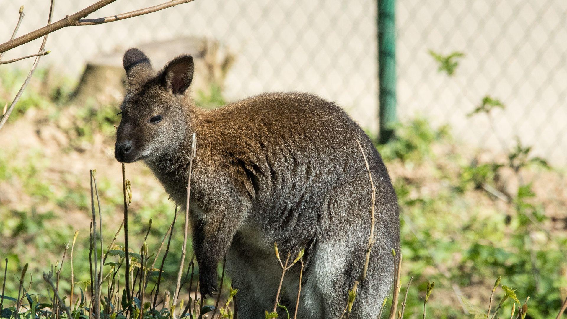 Kangaroo Wallaby Photos
