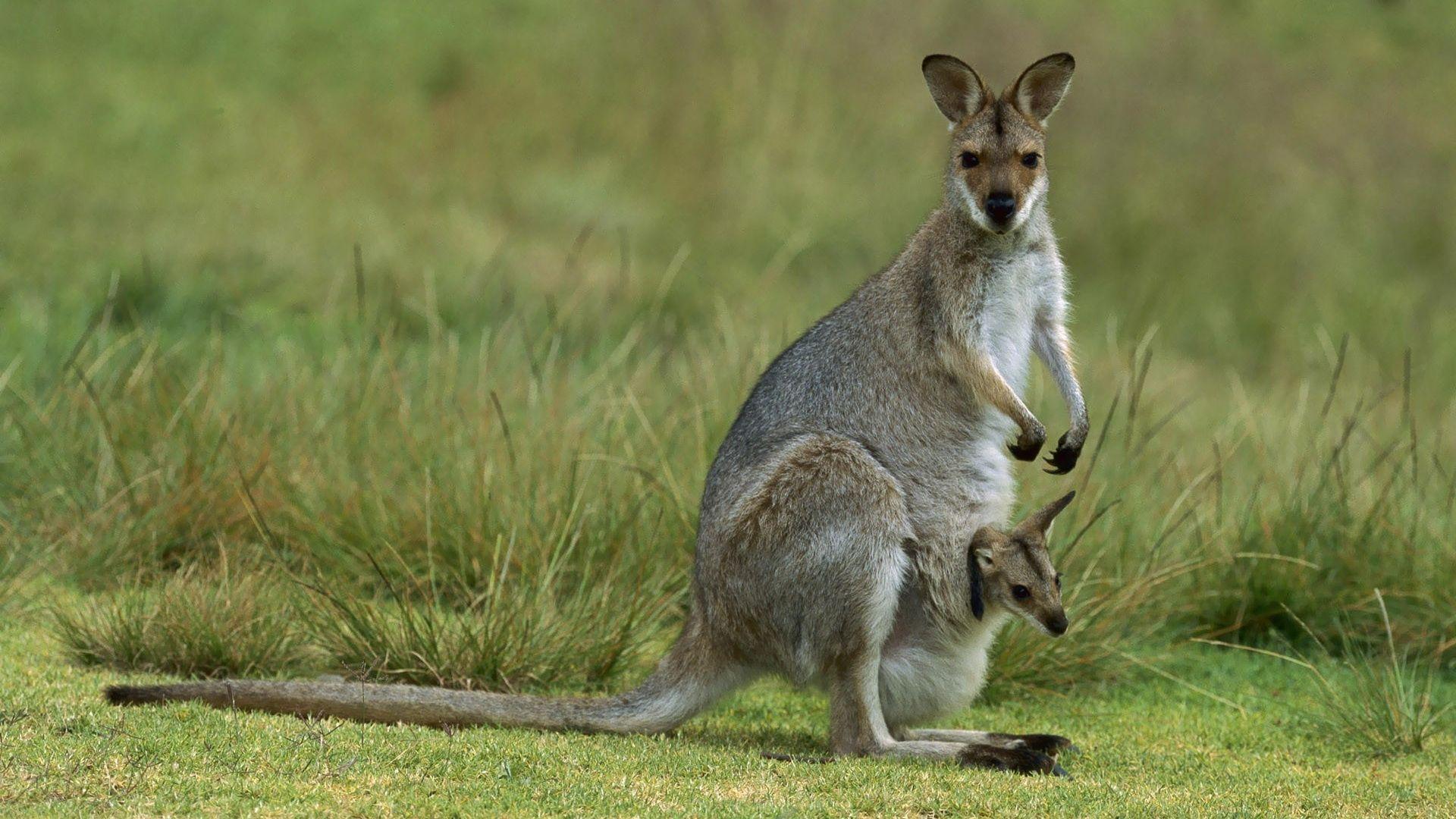 Kangaroo Animals