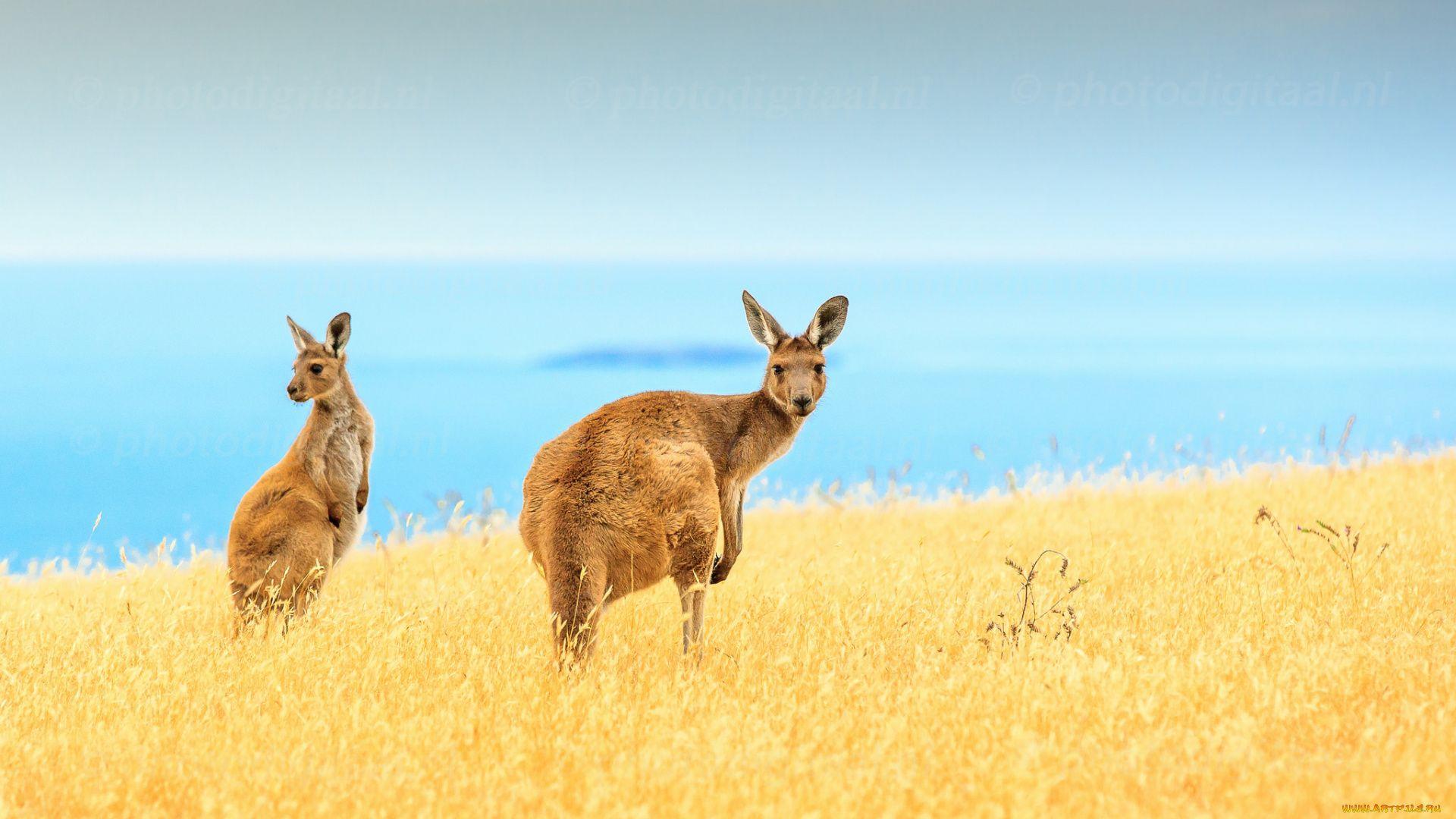 Kangaroo Beautiful Photo