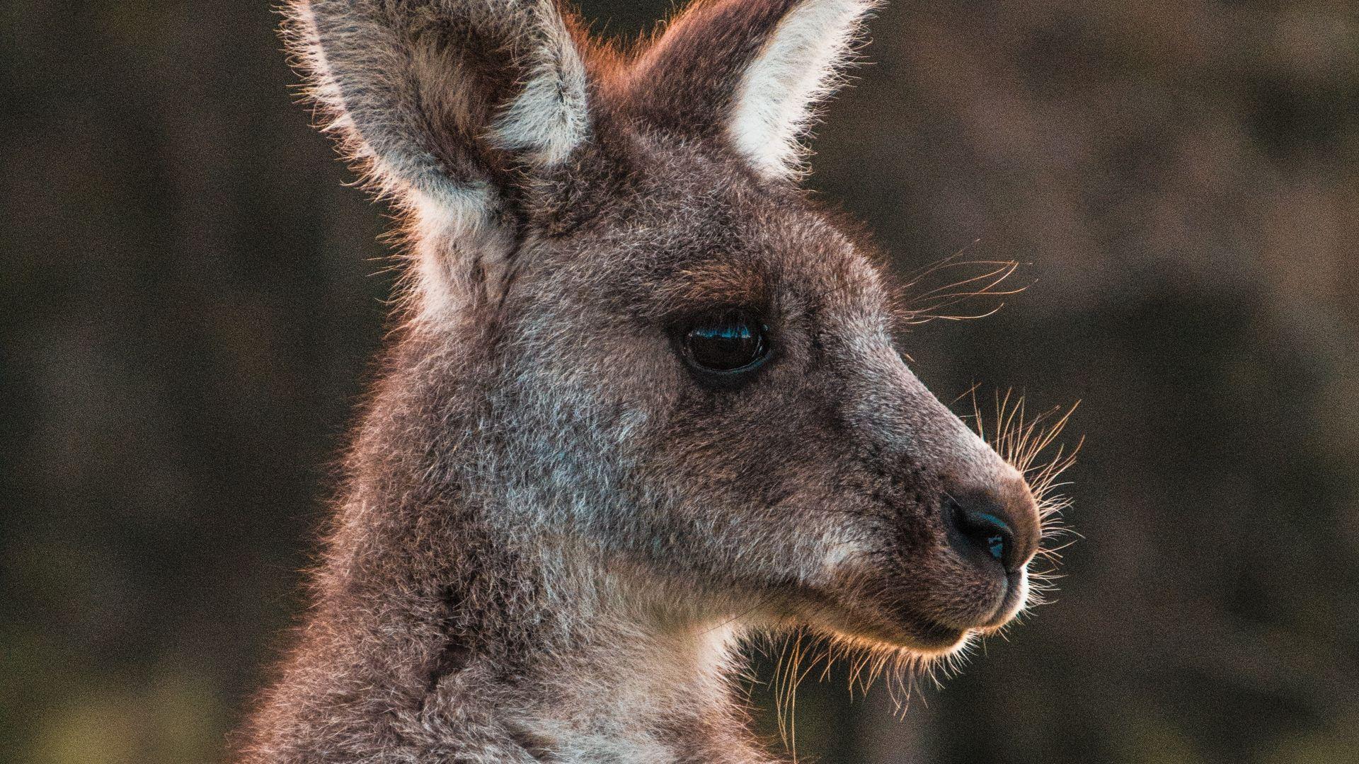 Kangaroo Cute Pictures